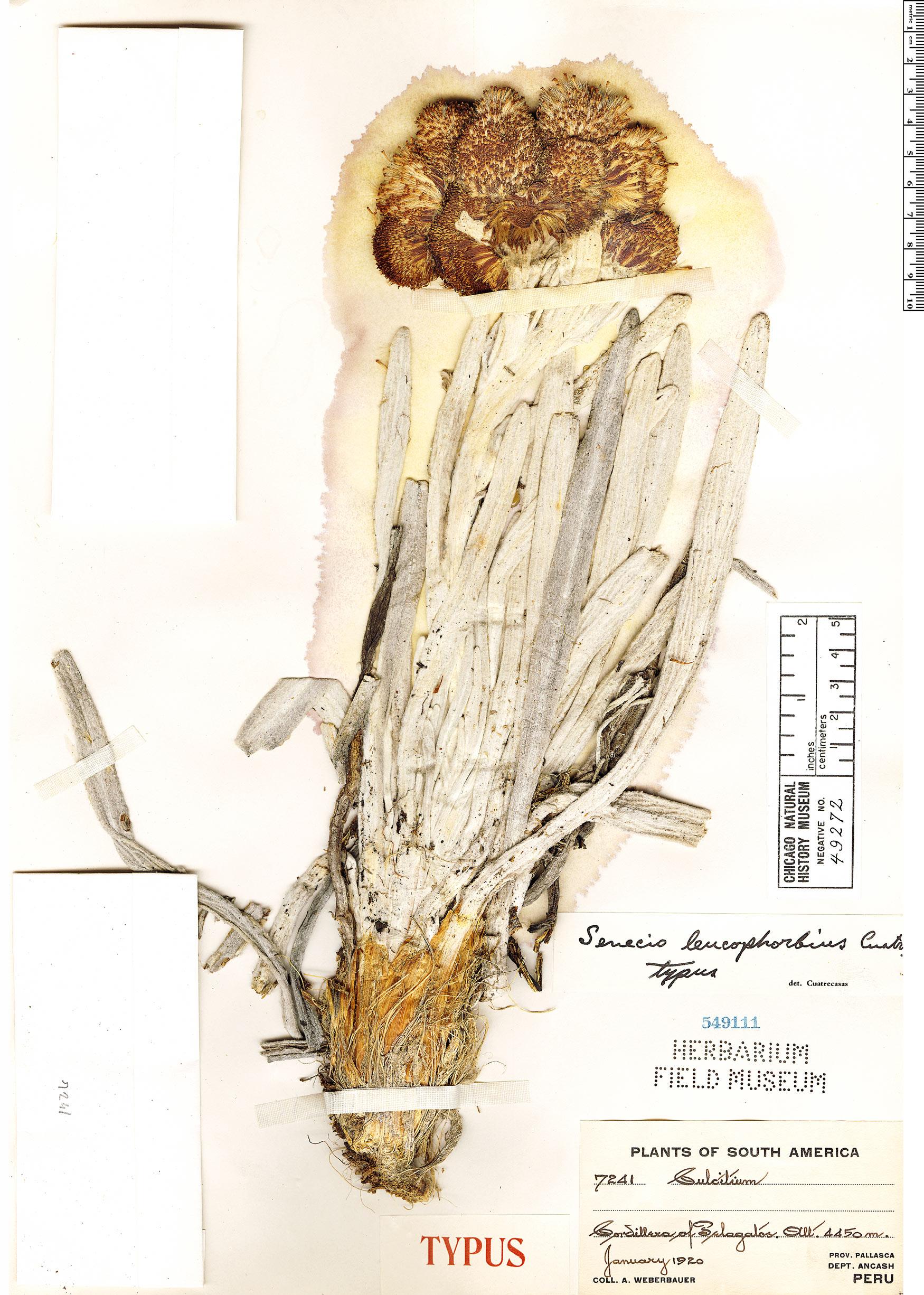 Specimen: Senecio leucophorbius