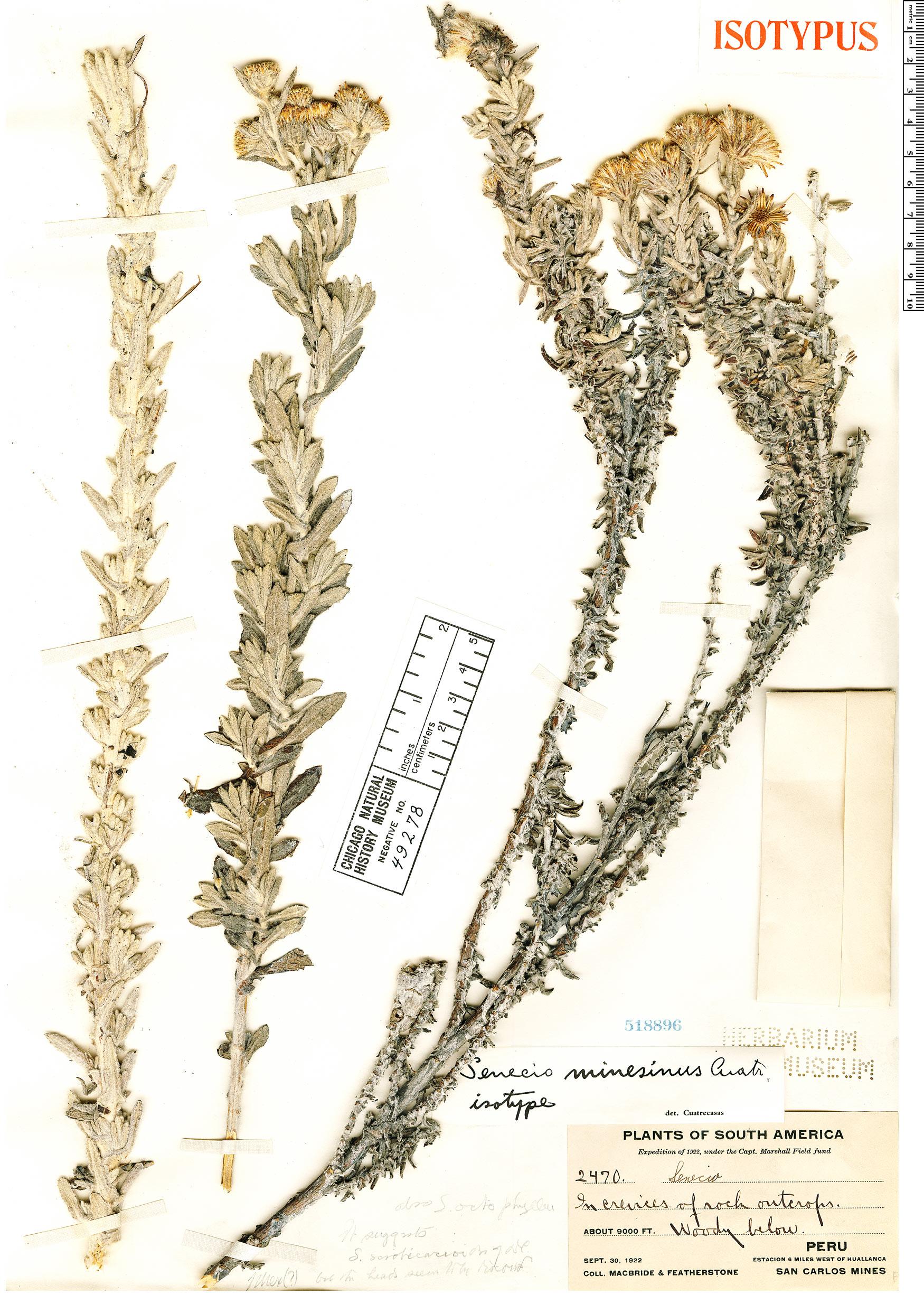 Specimen: Senecio minesinus