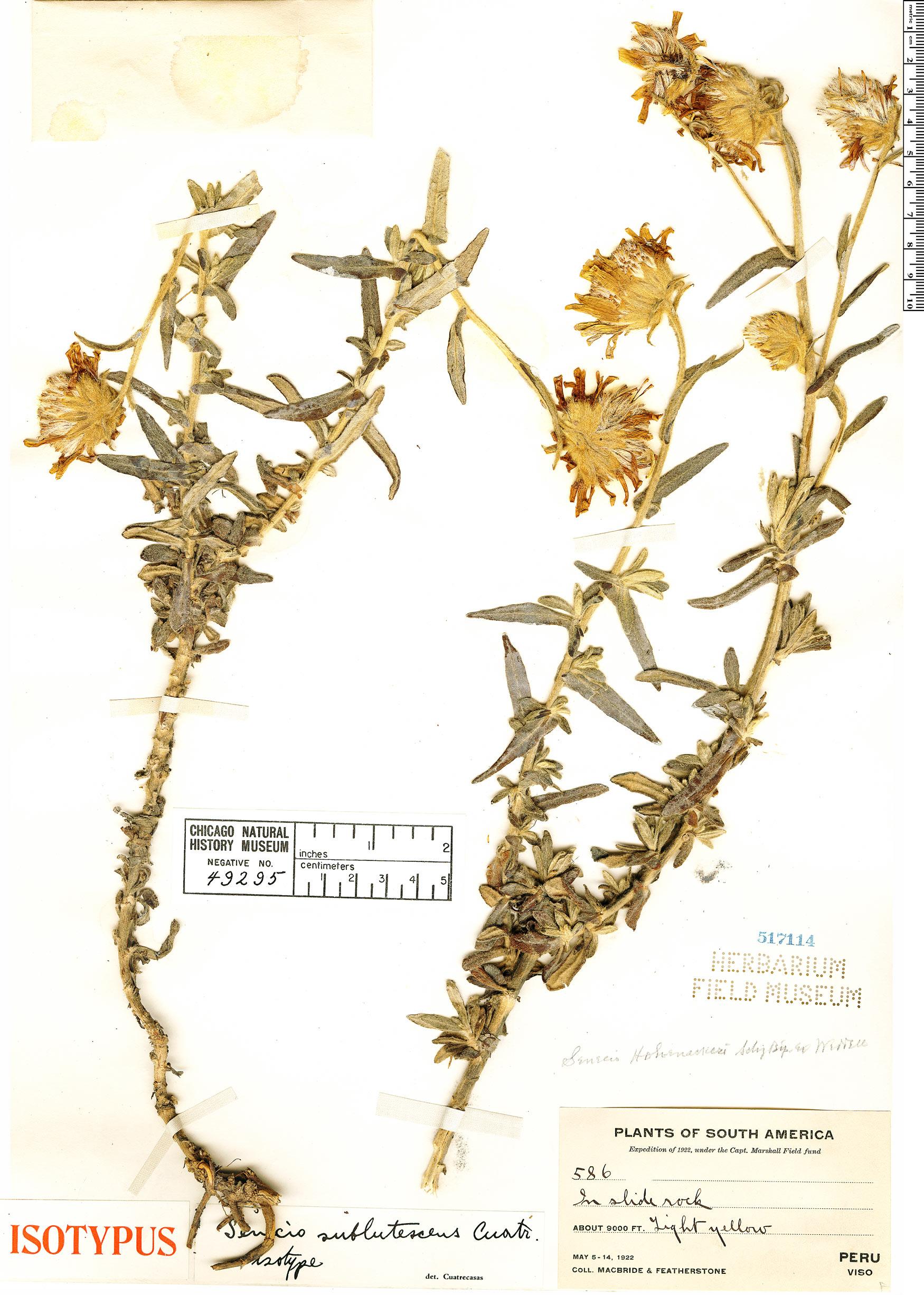 Specimen: Senecio sublutescens