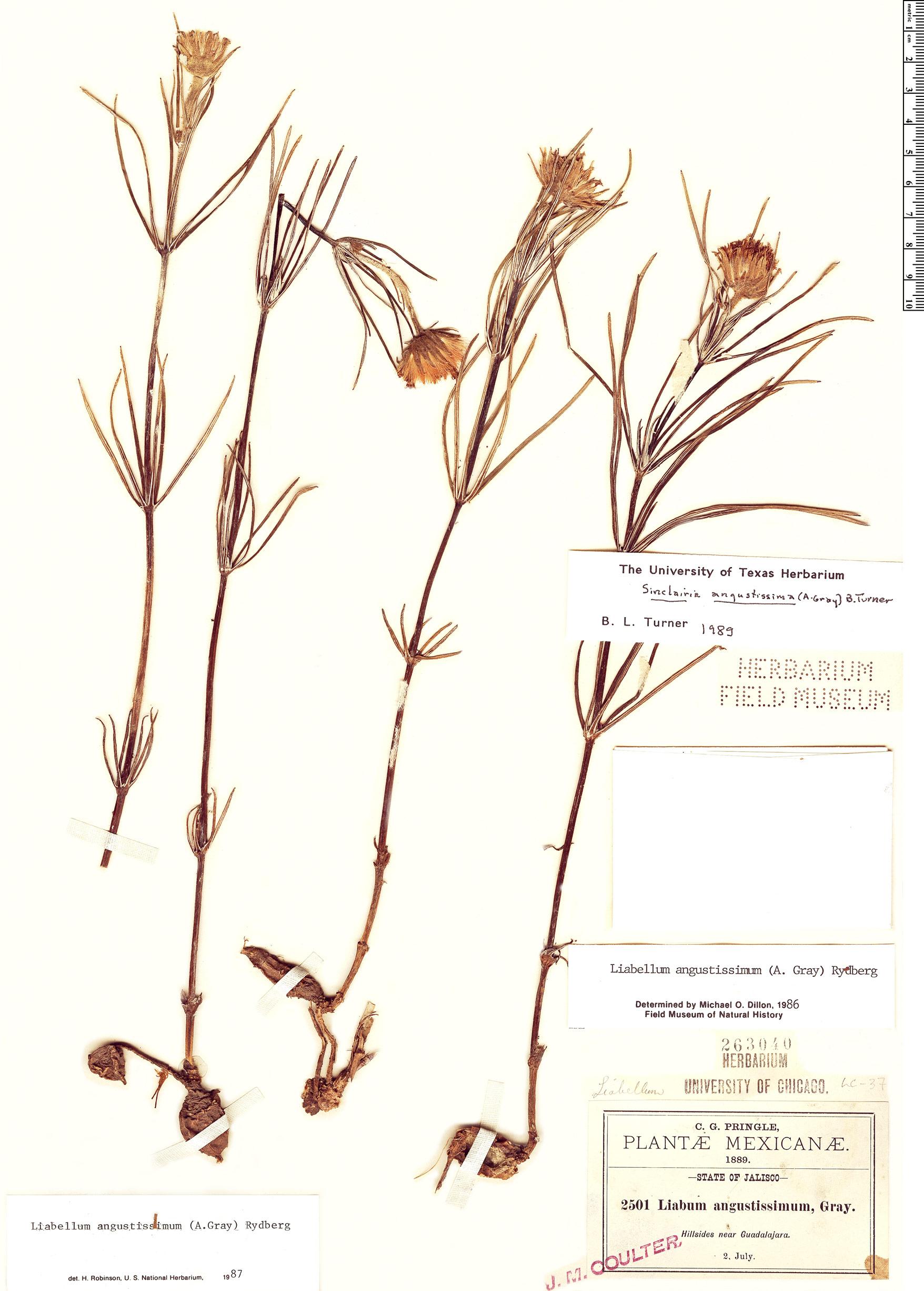 Specimen: Sinclairia angustissima