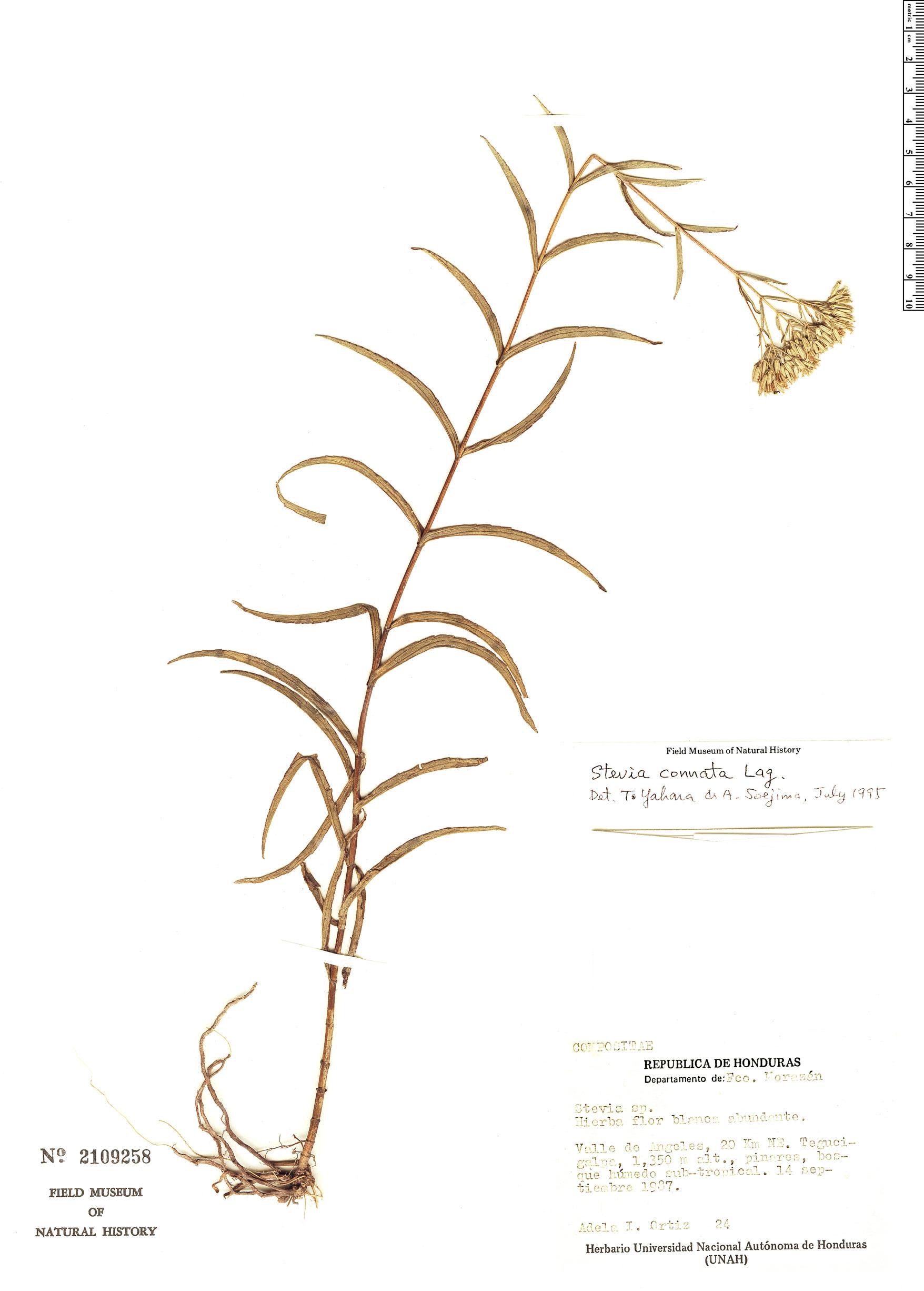Specimen: Stevia connata