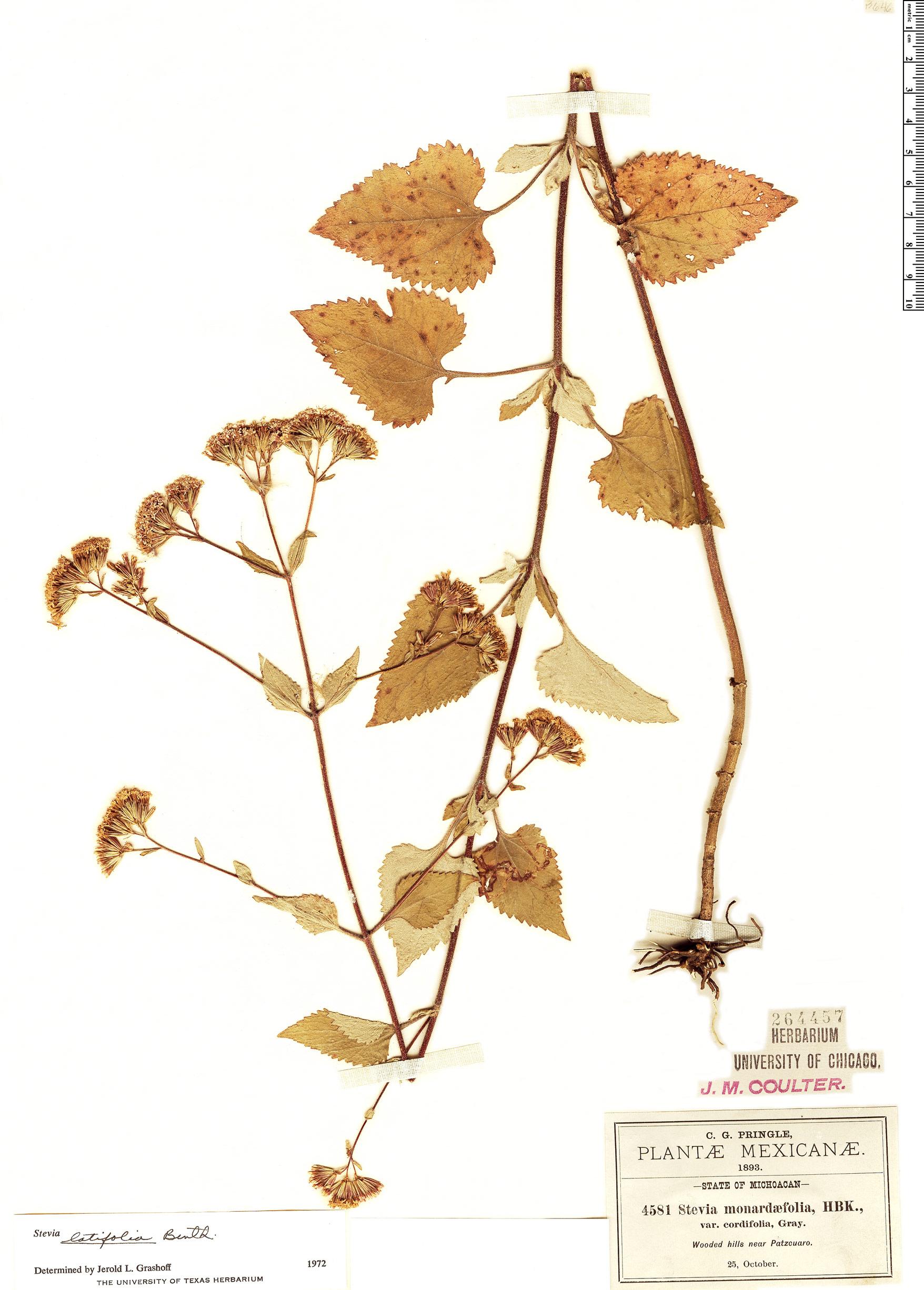 Specimen: Stevia latifolia