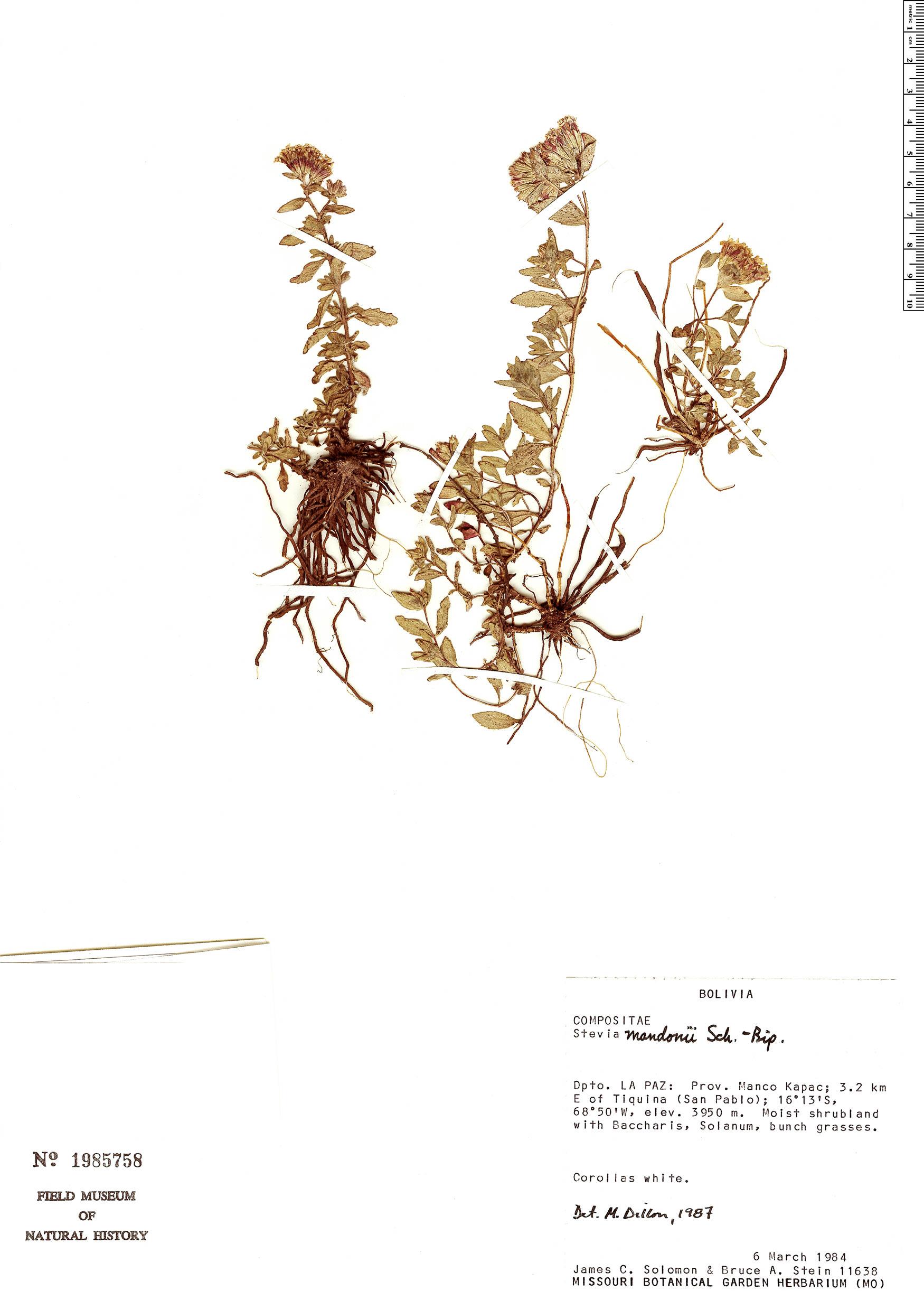 Specimen: Stevia mandonii