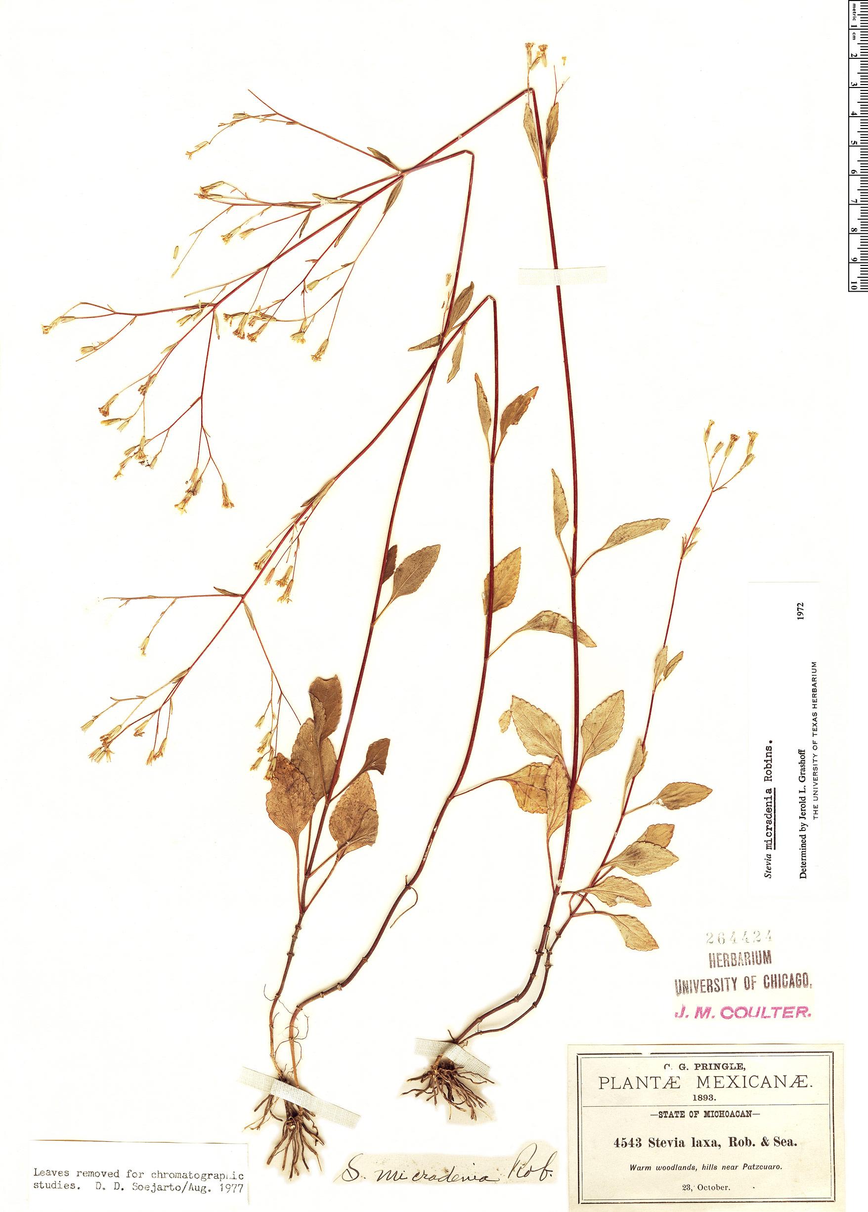 Specimen: Stevia micradenia