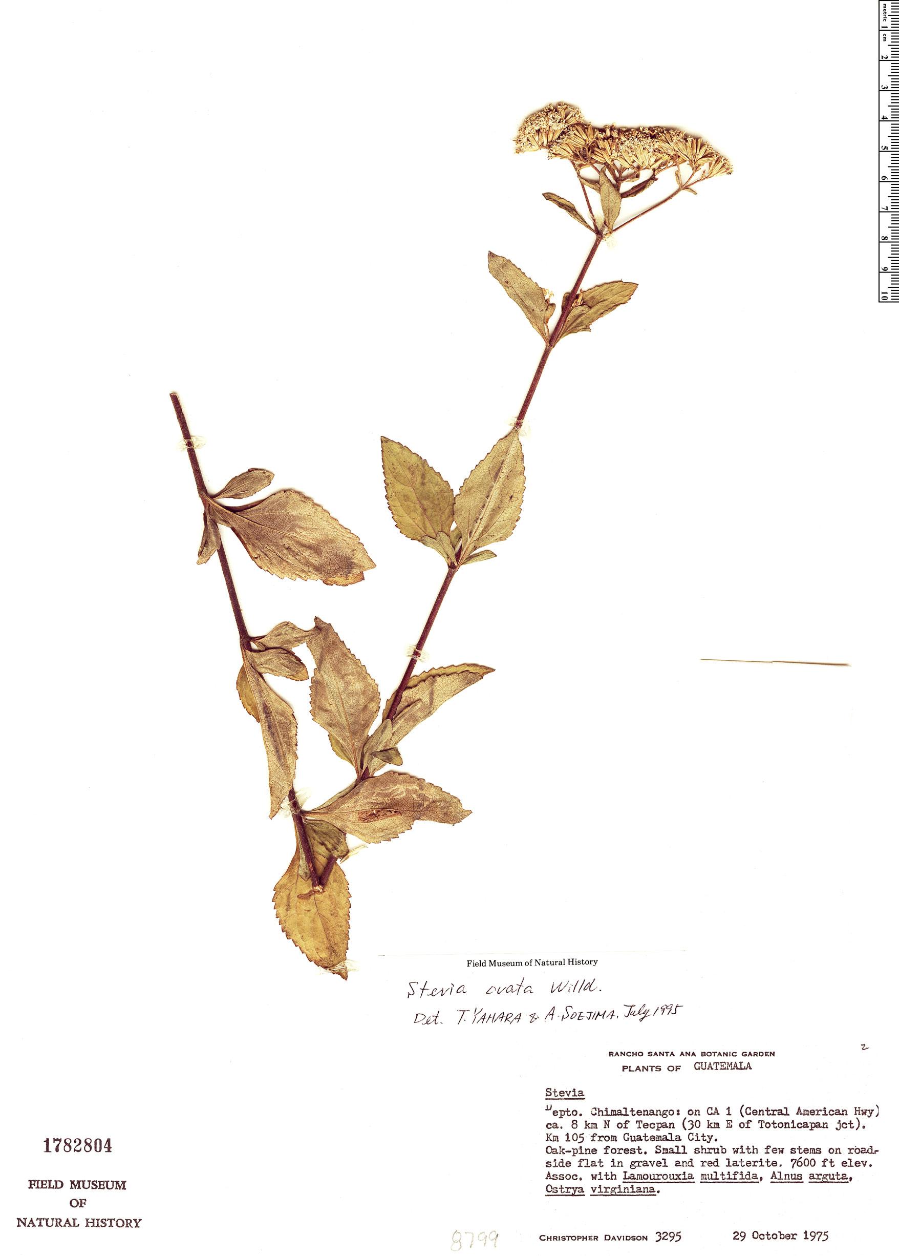 Specimen: Stevia ovata