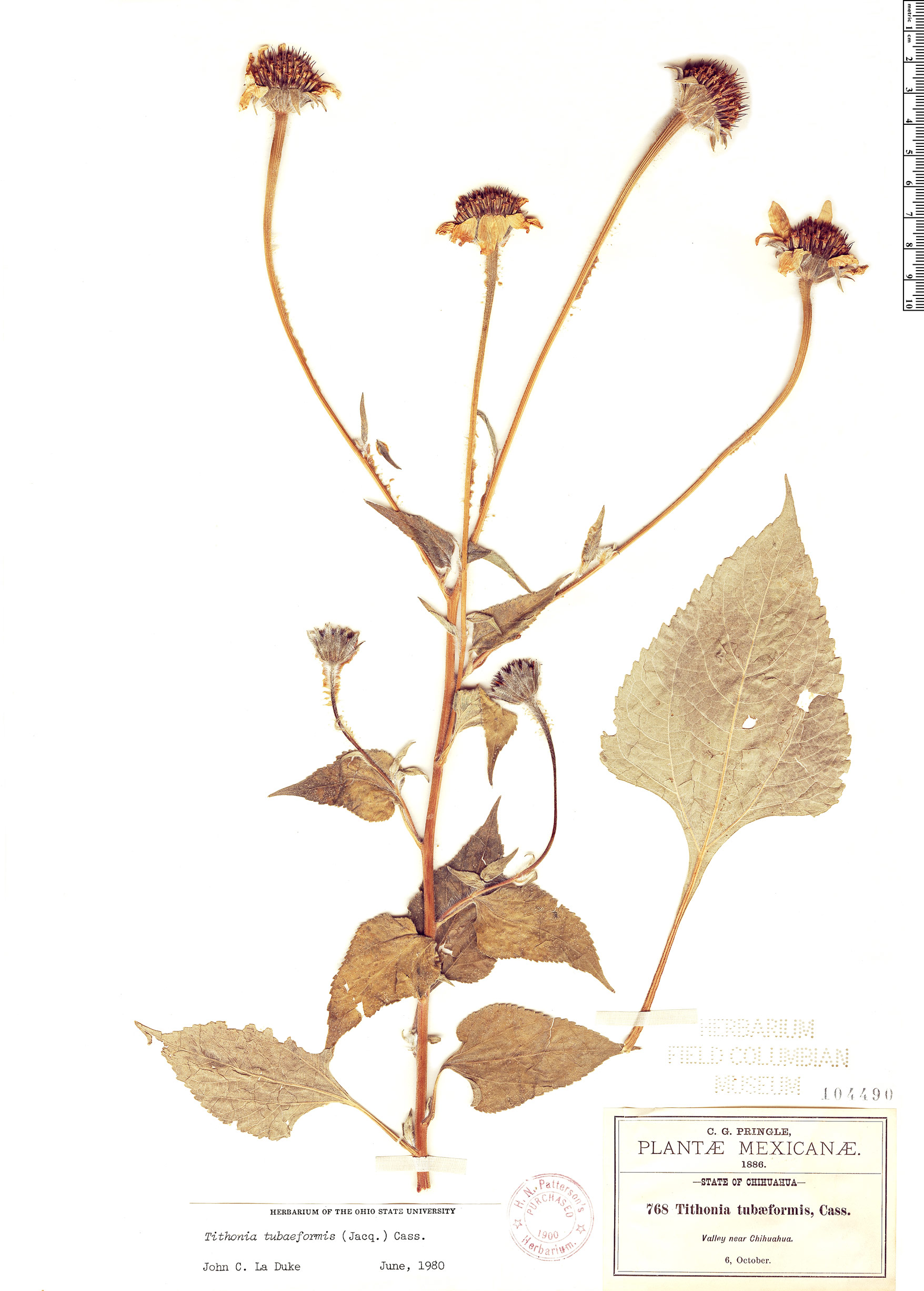 Specimen: Tithonia tubiformis