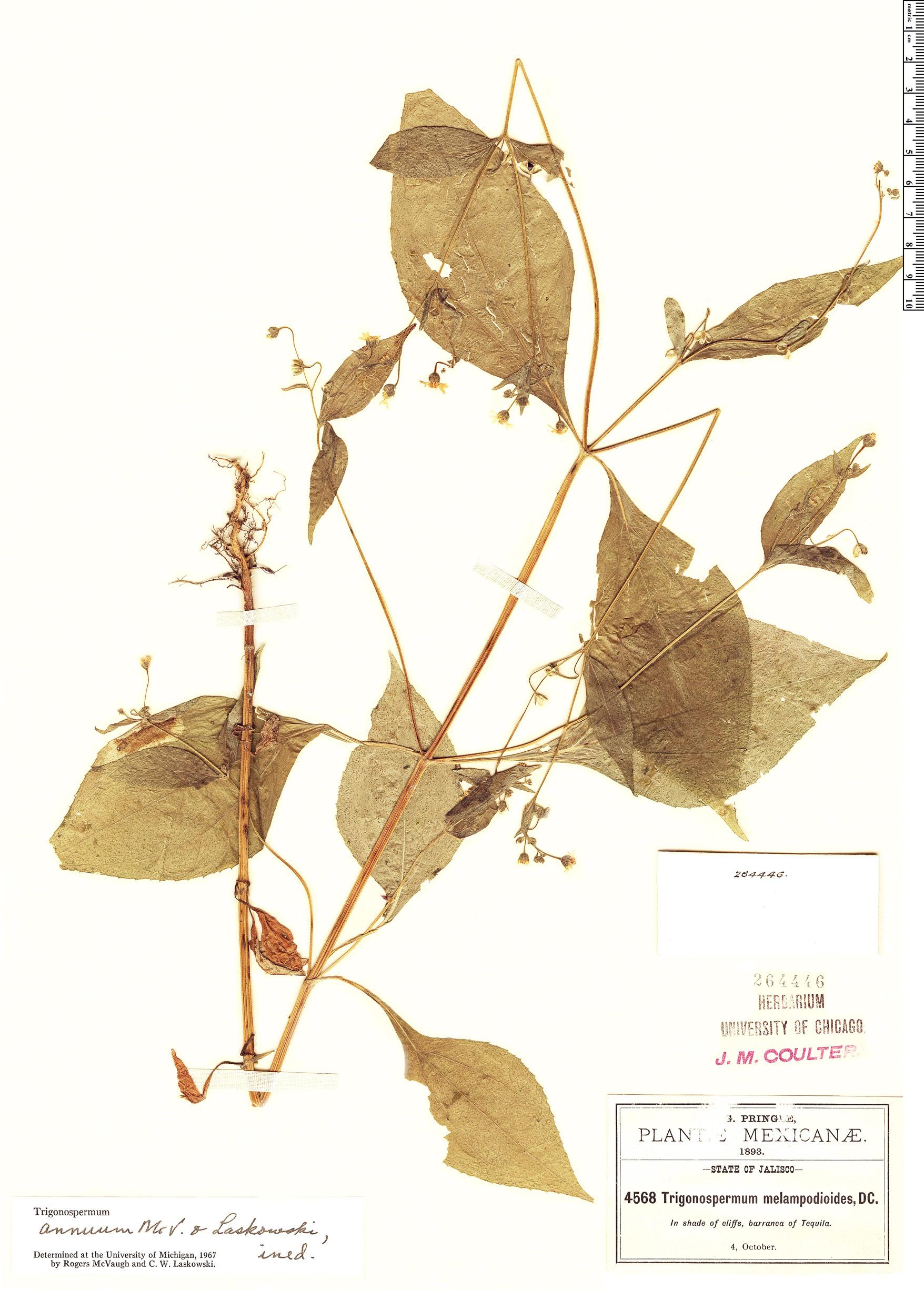 Specimen: Trigonospermum annuum