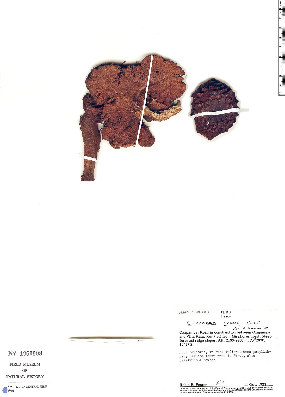 Specimen: Corynaea crassa