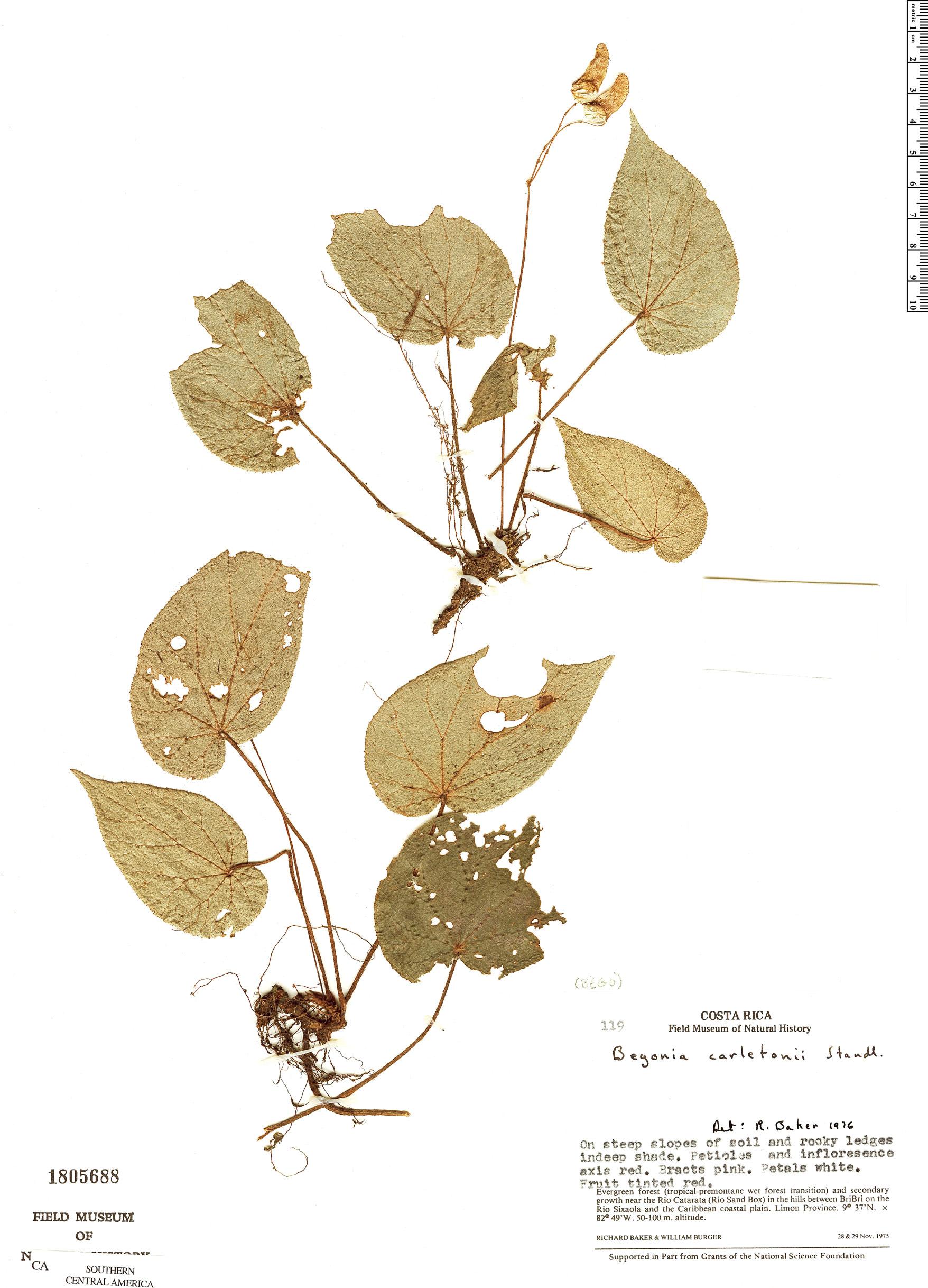 Specimen: Begonia carletonii