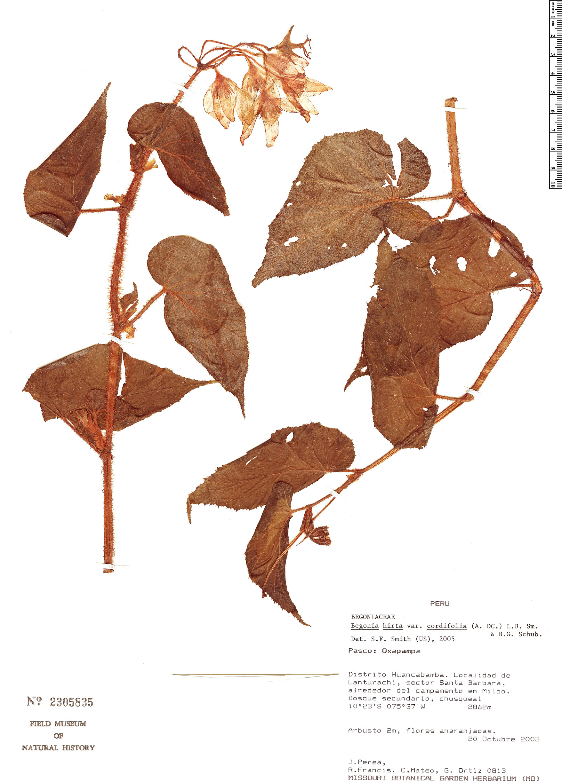 Specimen: Begonia hirta
