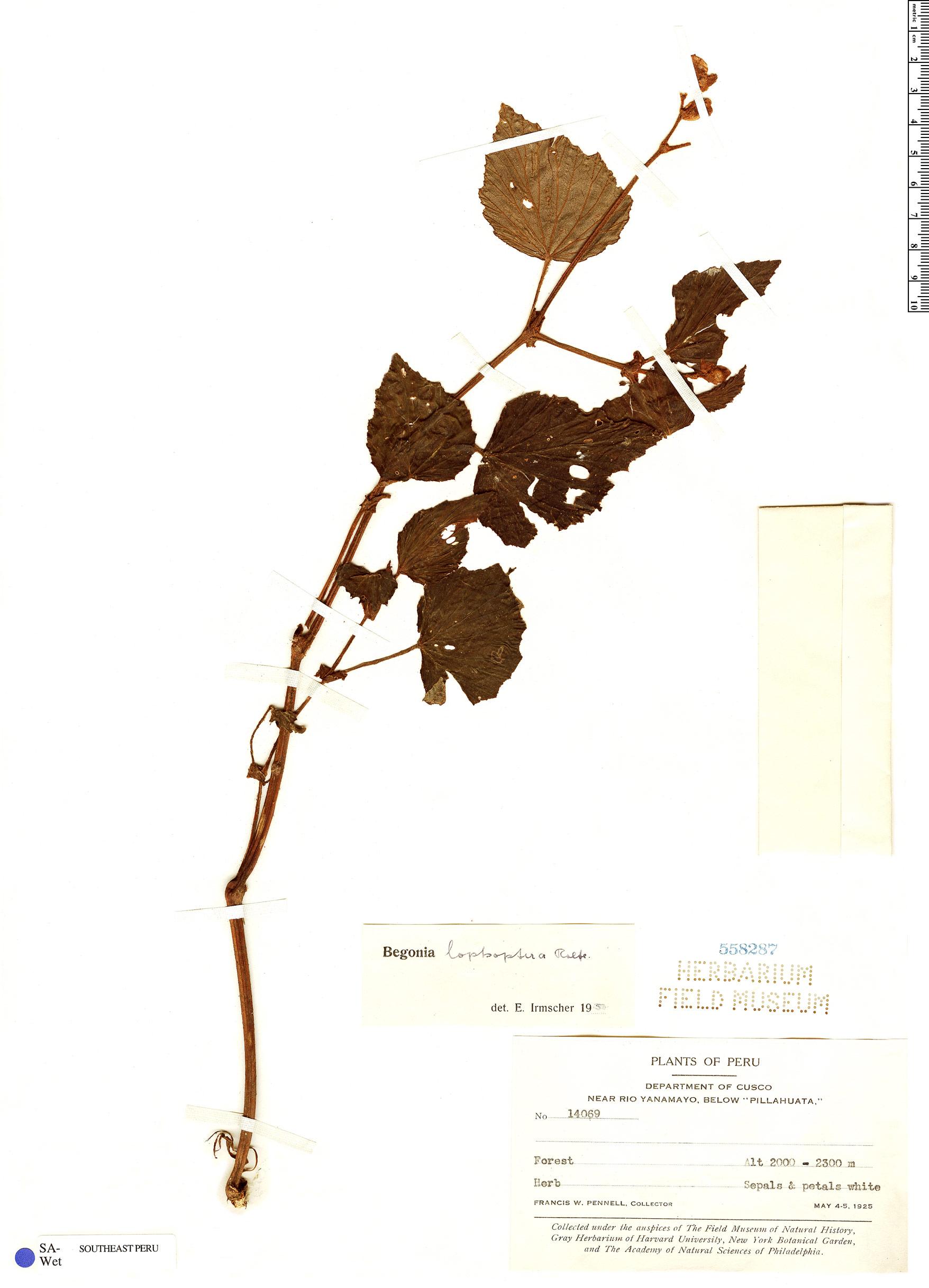 Specimen: Begonia lophoptera