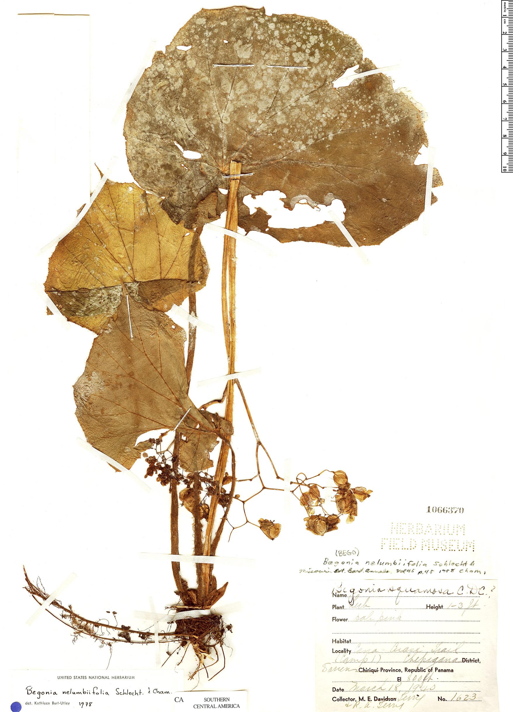 Espécime: Begonia nelumbiifolia