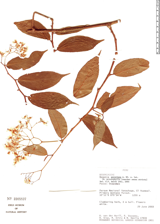 Specimen: Begonia peruviana