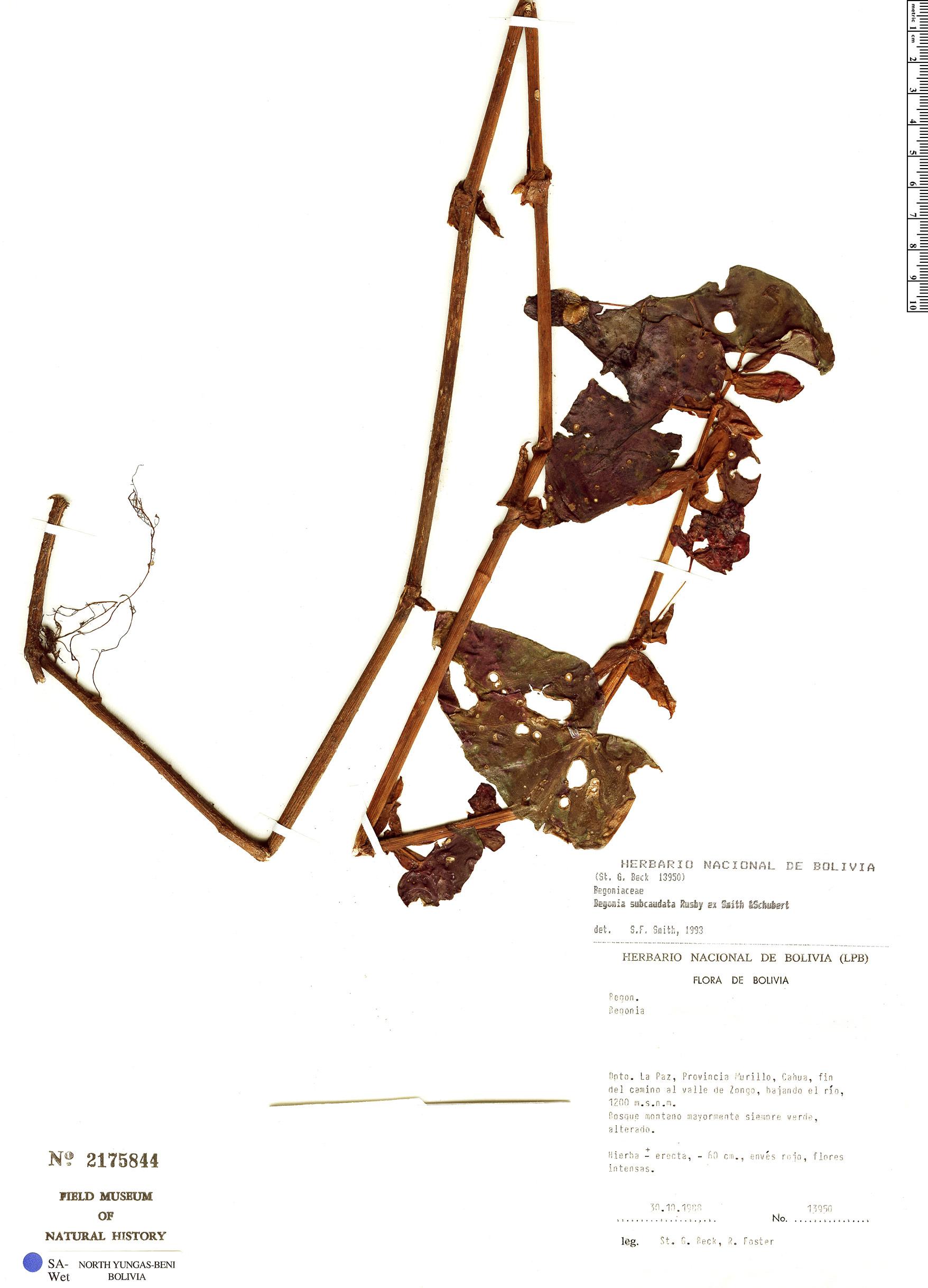 Espécime: Begonia subcaudata