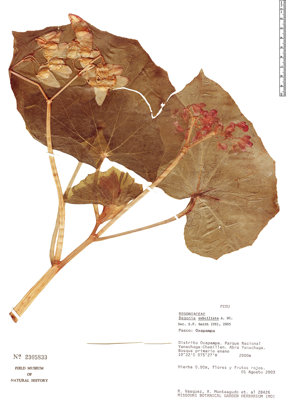 Espécimen: Begonia subciliata