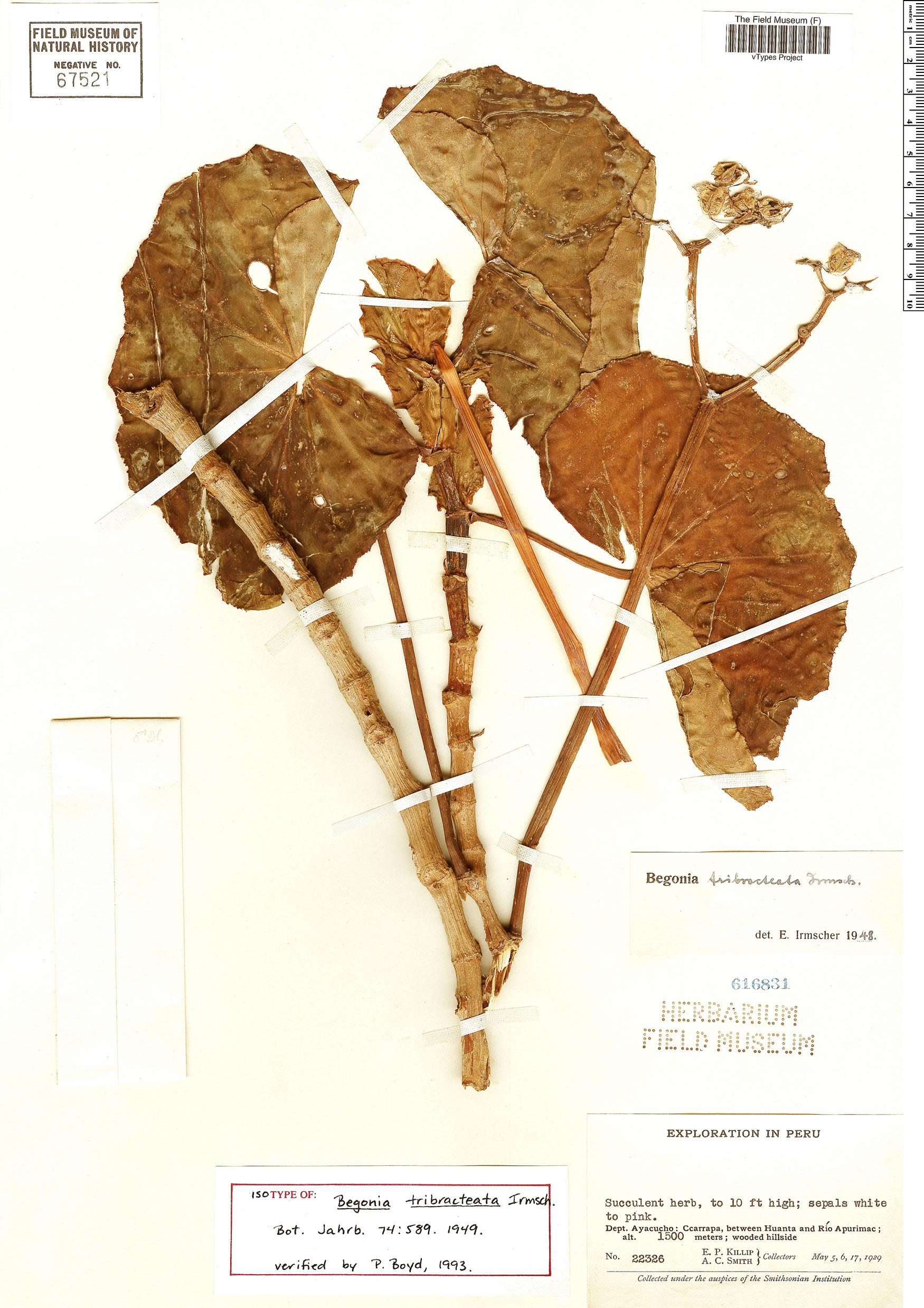Specimen: Begonia tribracteata