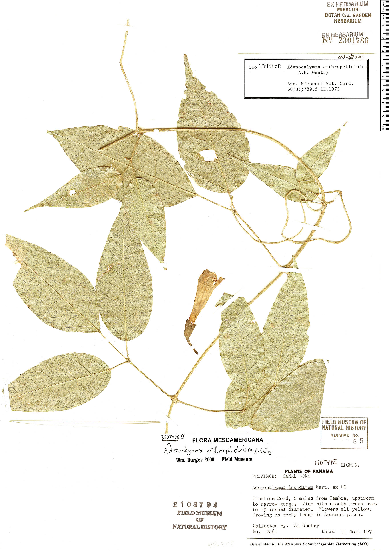 Specimen: Adenocalymma arthropetiolatum