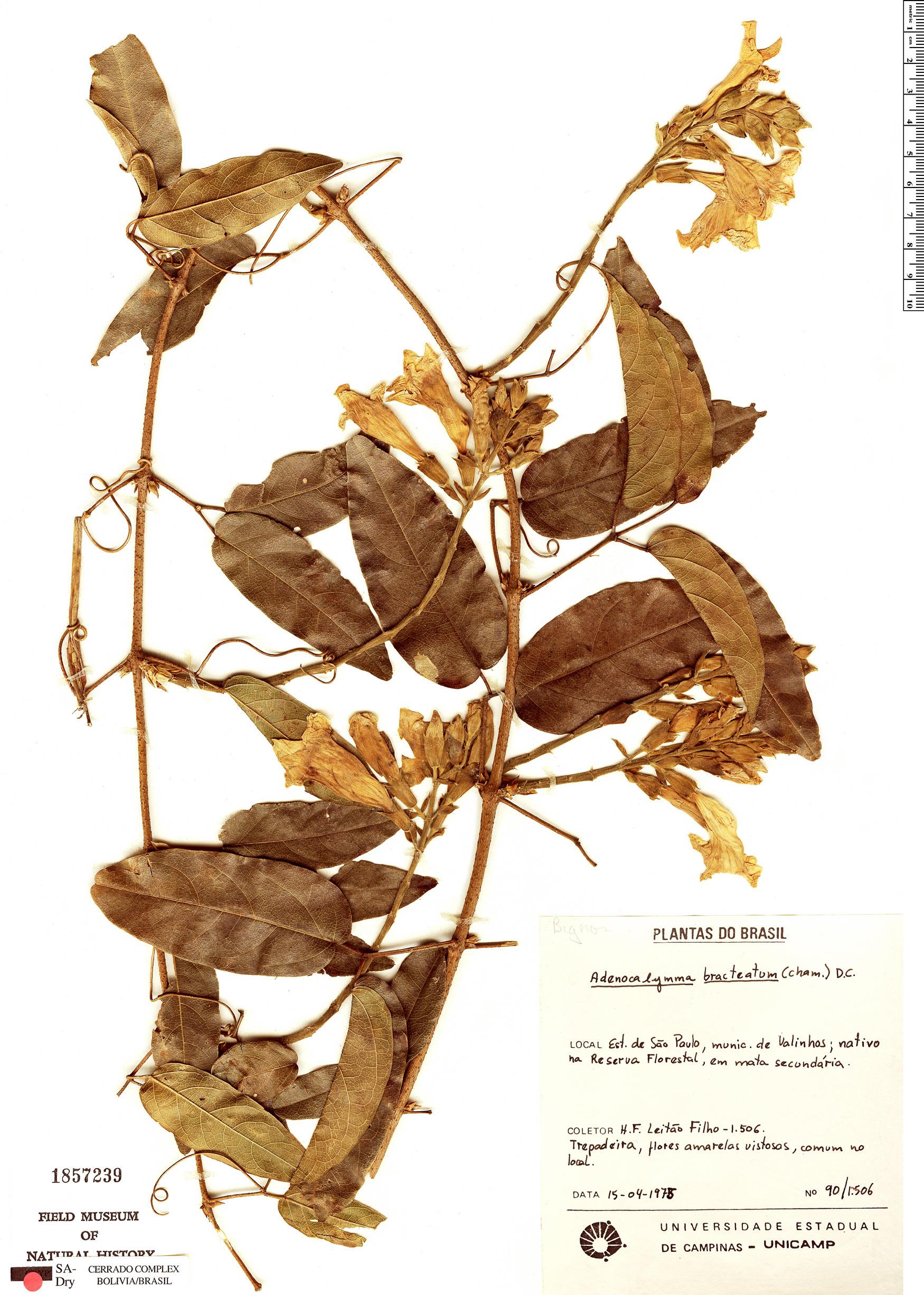 Specimen: Adenocalymma bracteatum