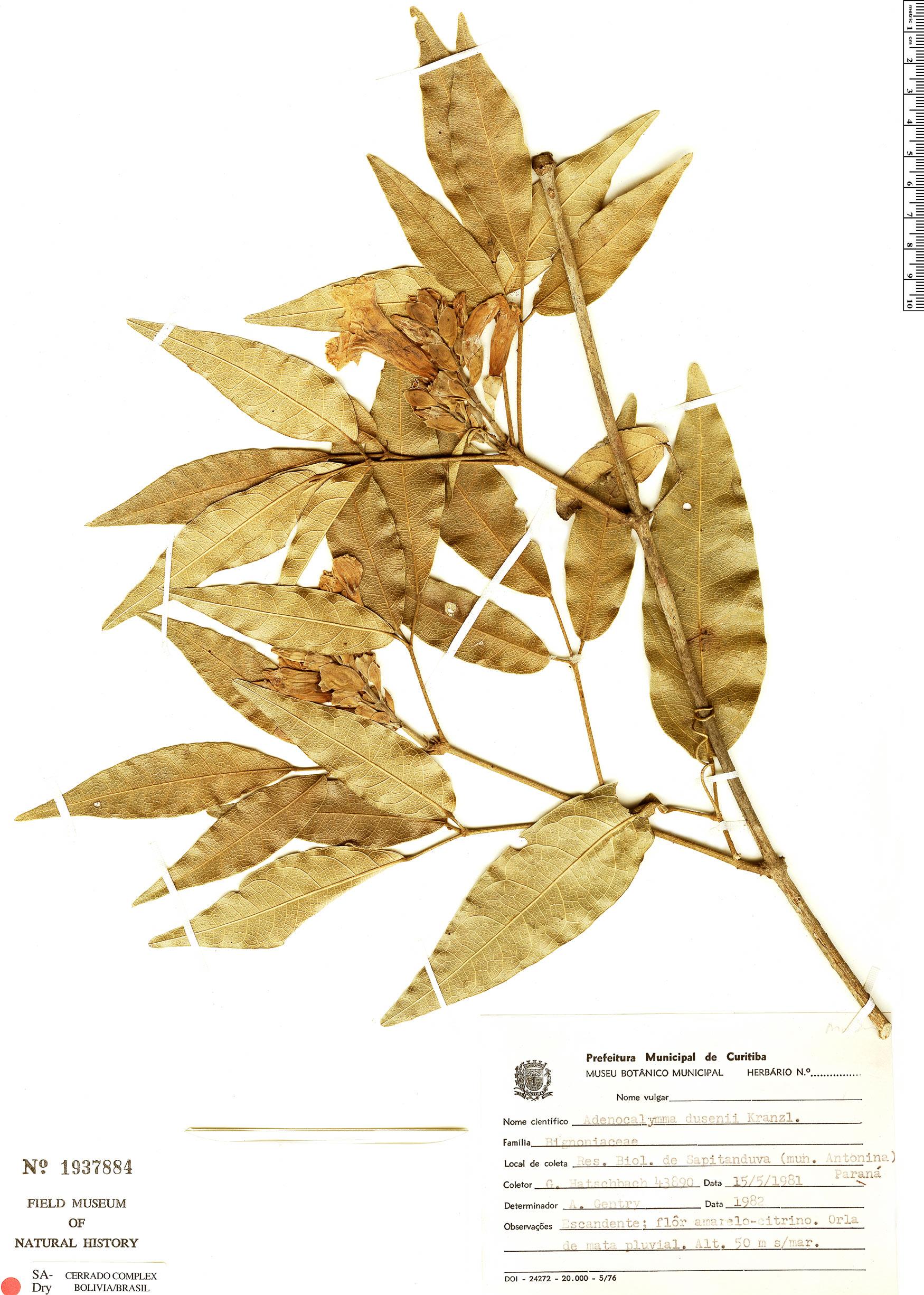 Specimen: Adenocalymma dusenii