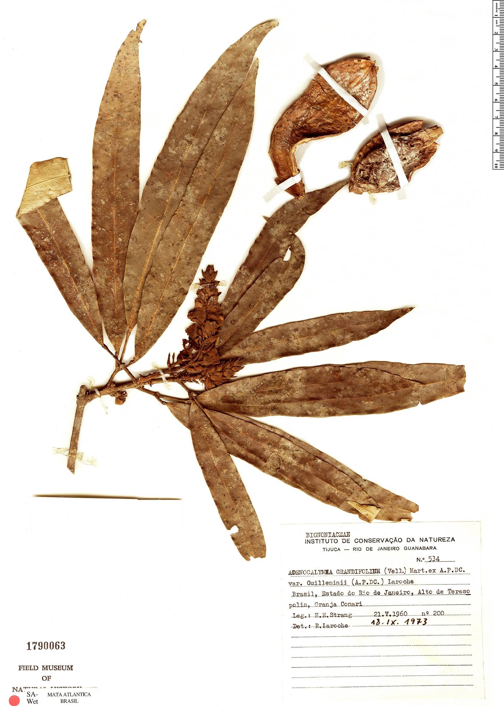 Specimen: Adenocalymma grandifolium