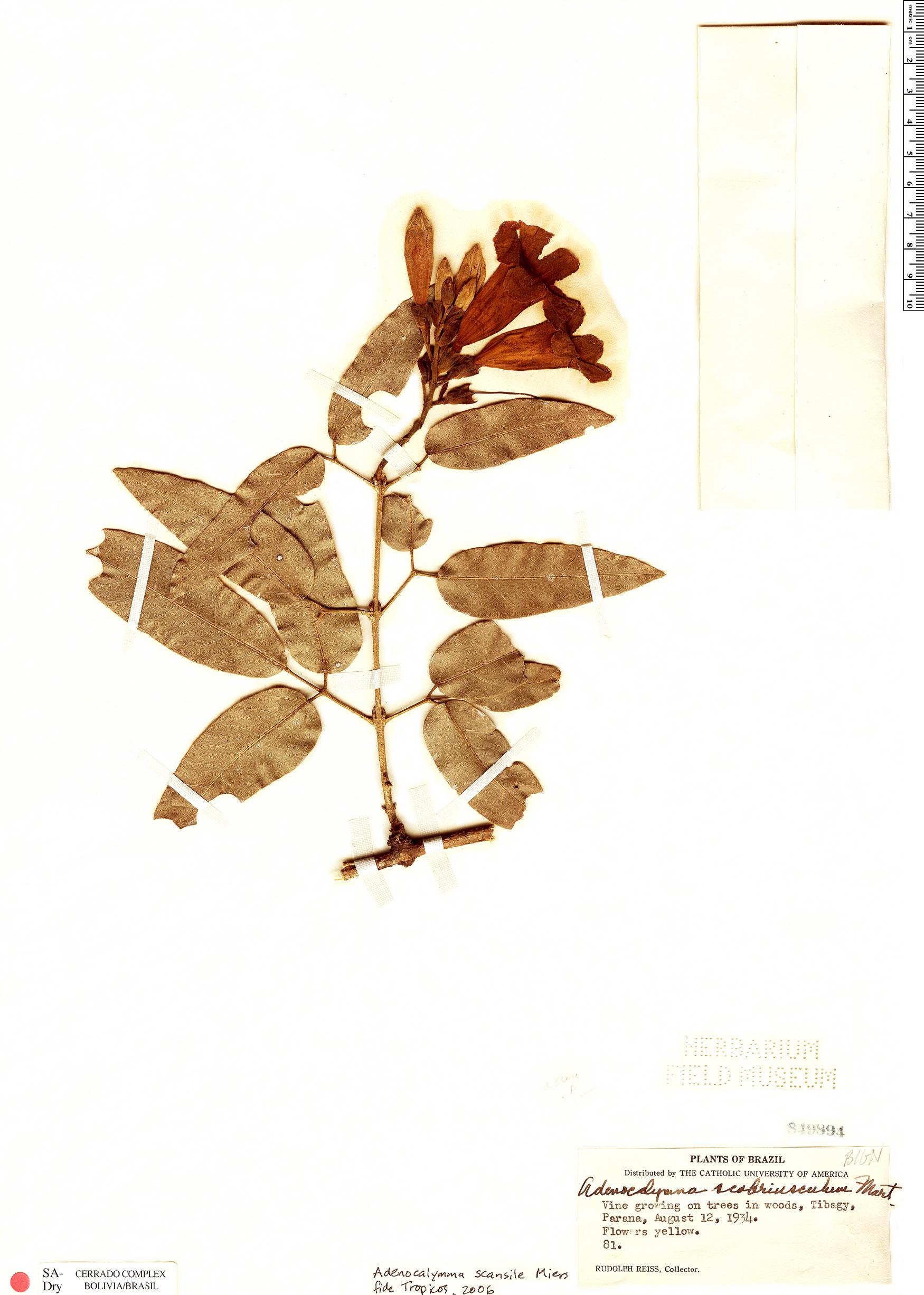 Specimen: Adenocalymma paulistarum