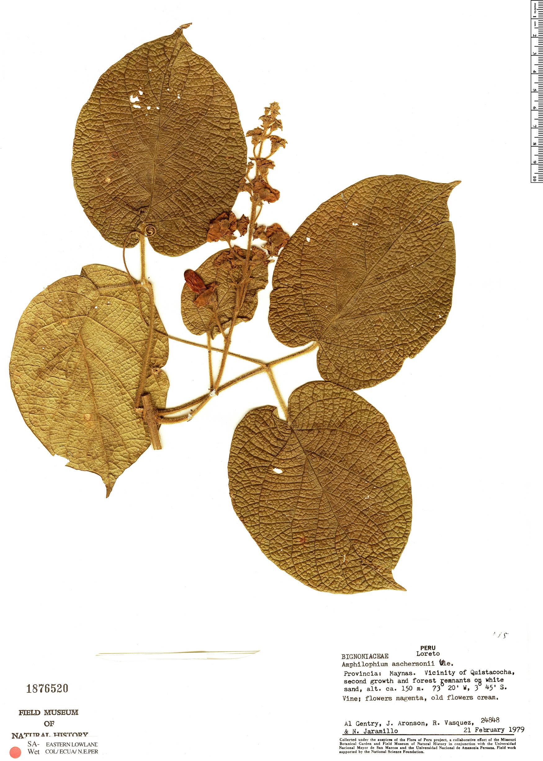 Specimen: Amphilophium aschersonii