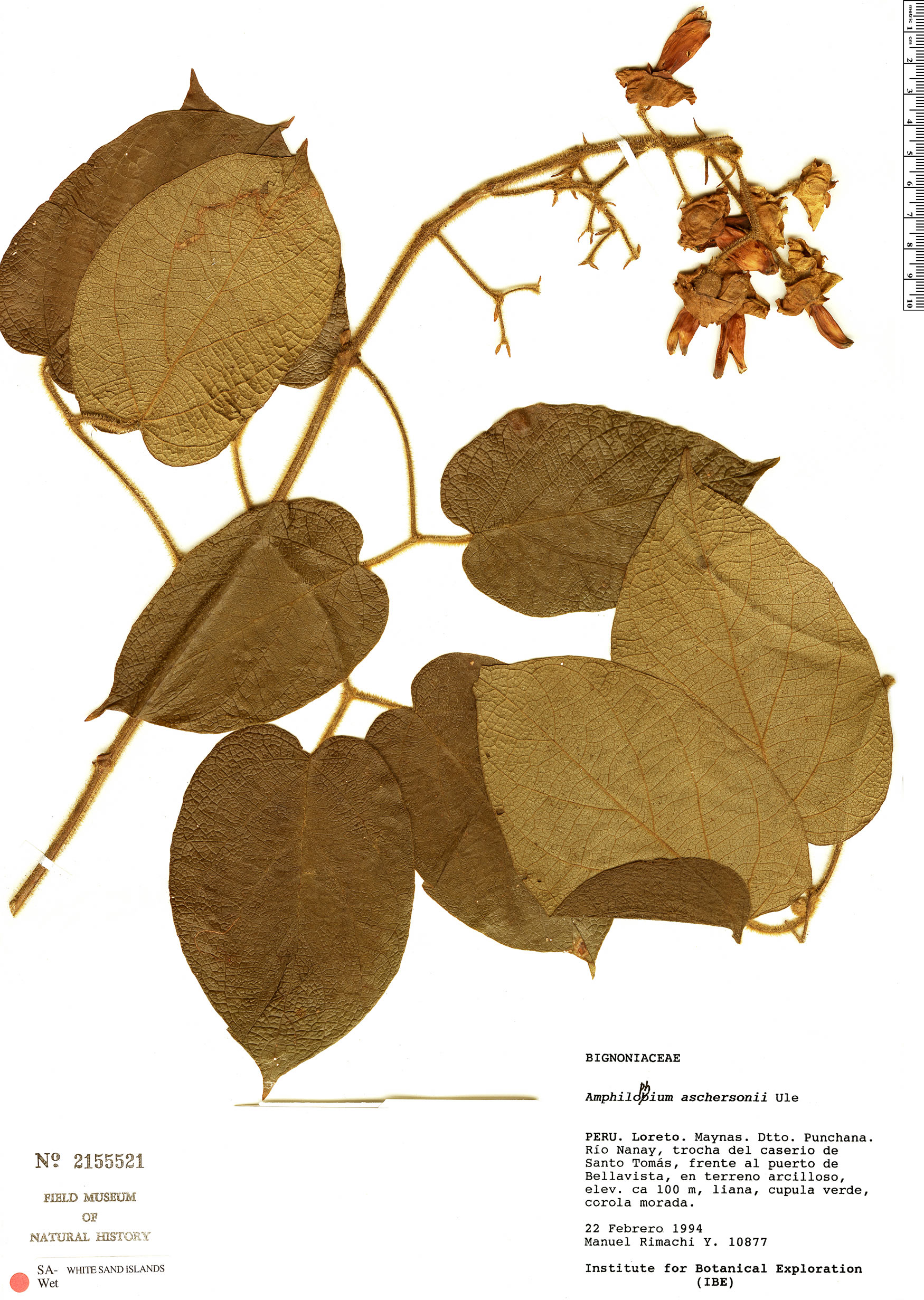 Espécime: Amphilophium aschersonii
