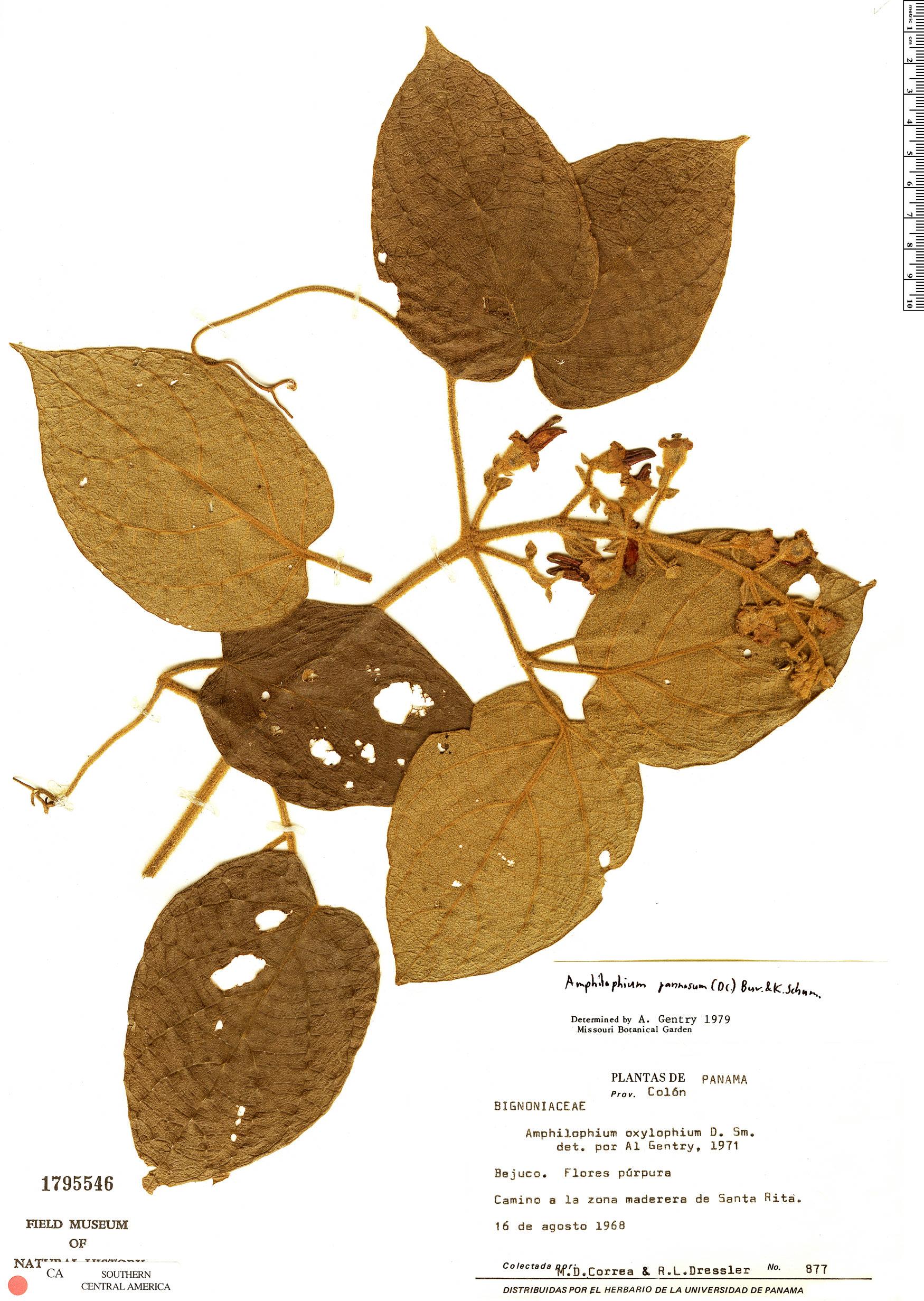 Specimen: Amphilophium pannosum