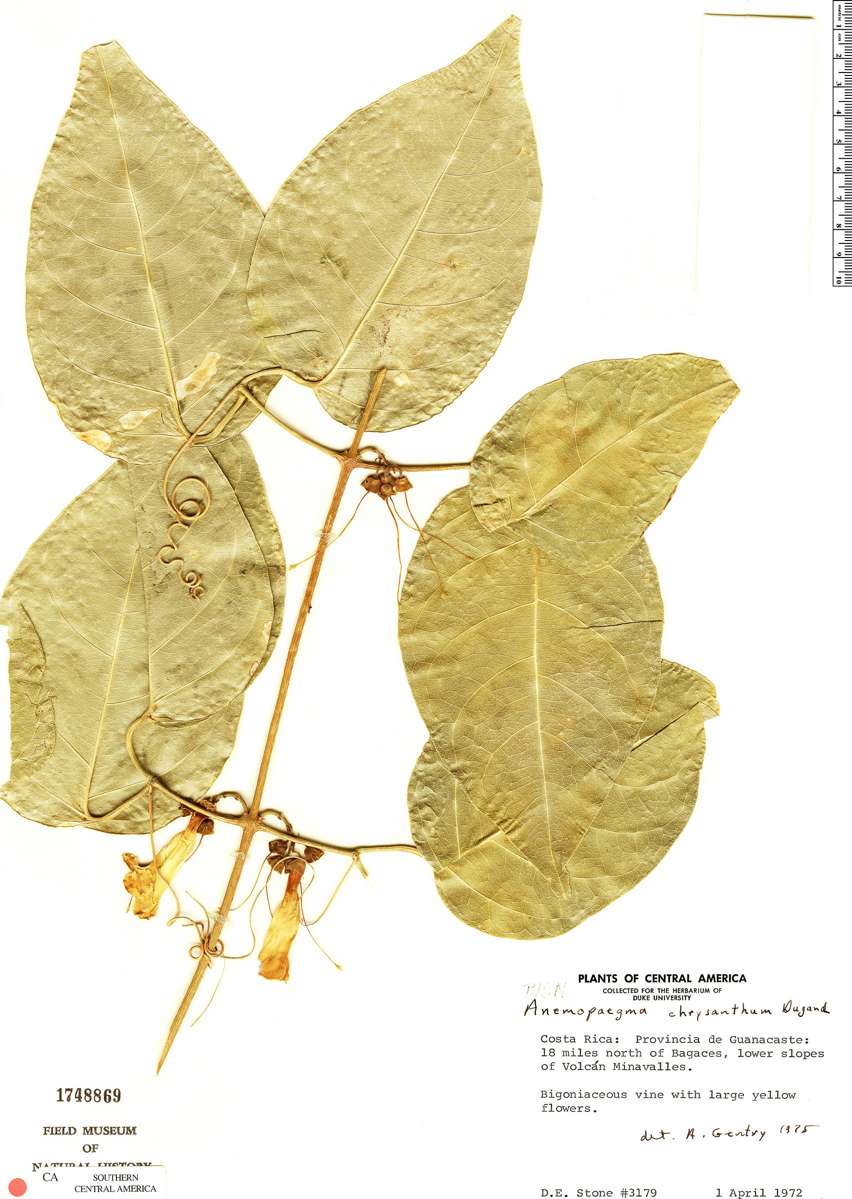 Specimen: Anemopaegma chrysanthum