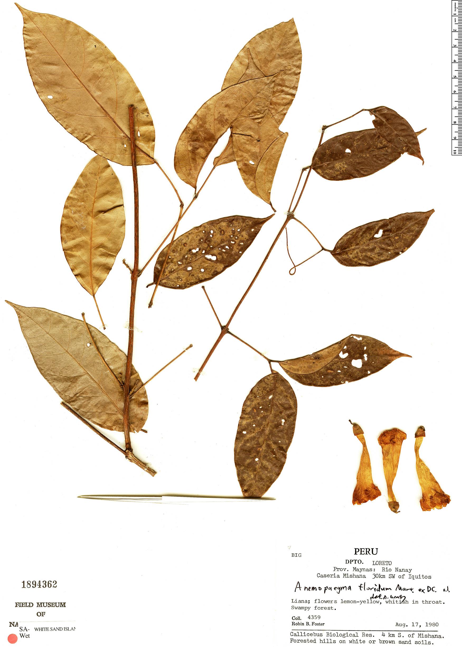 Specimen: Anemopaegma floridum