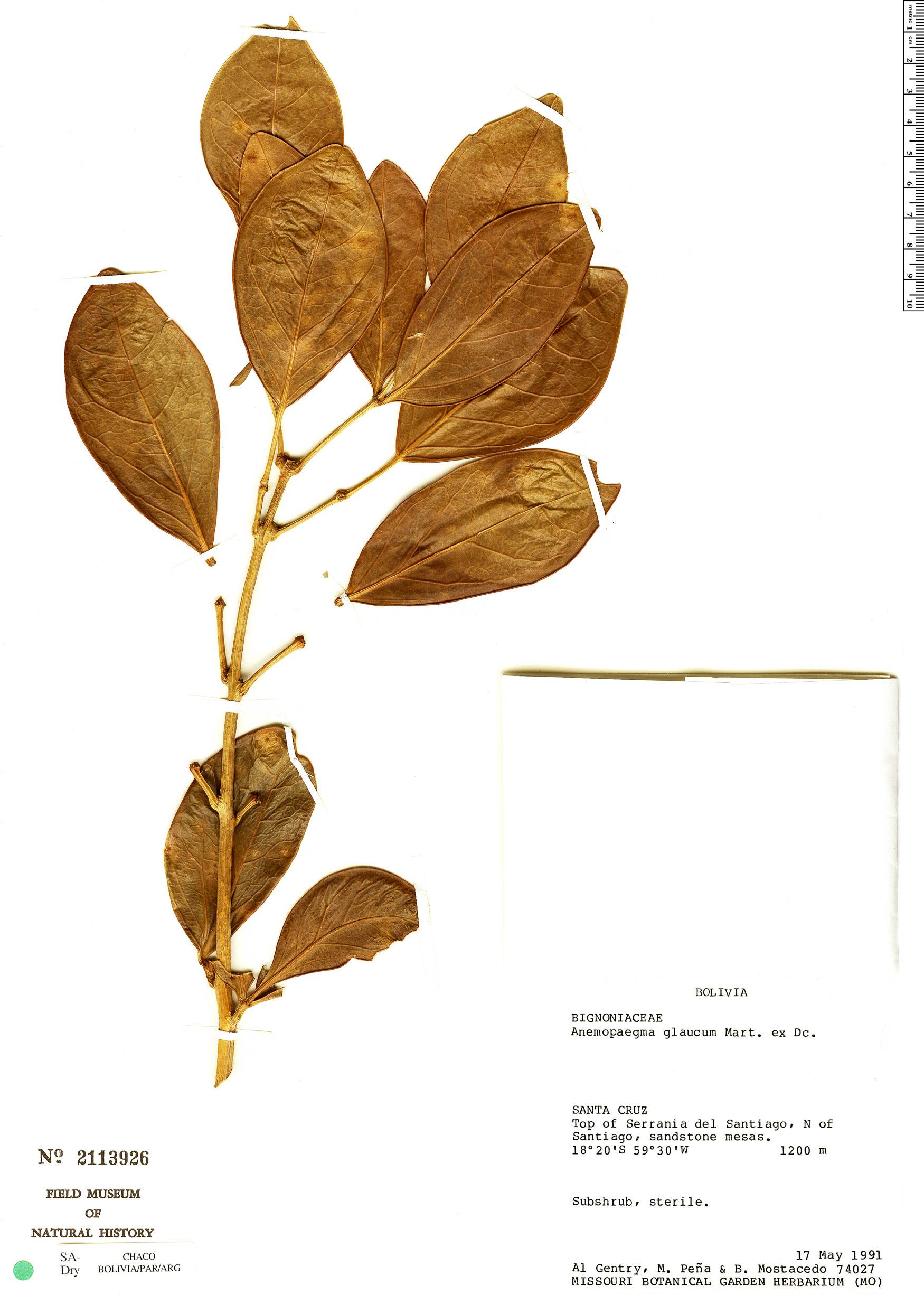 Specimen: Anemopaegma glaucum