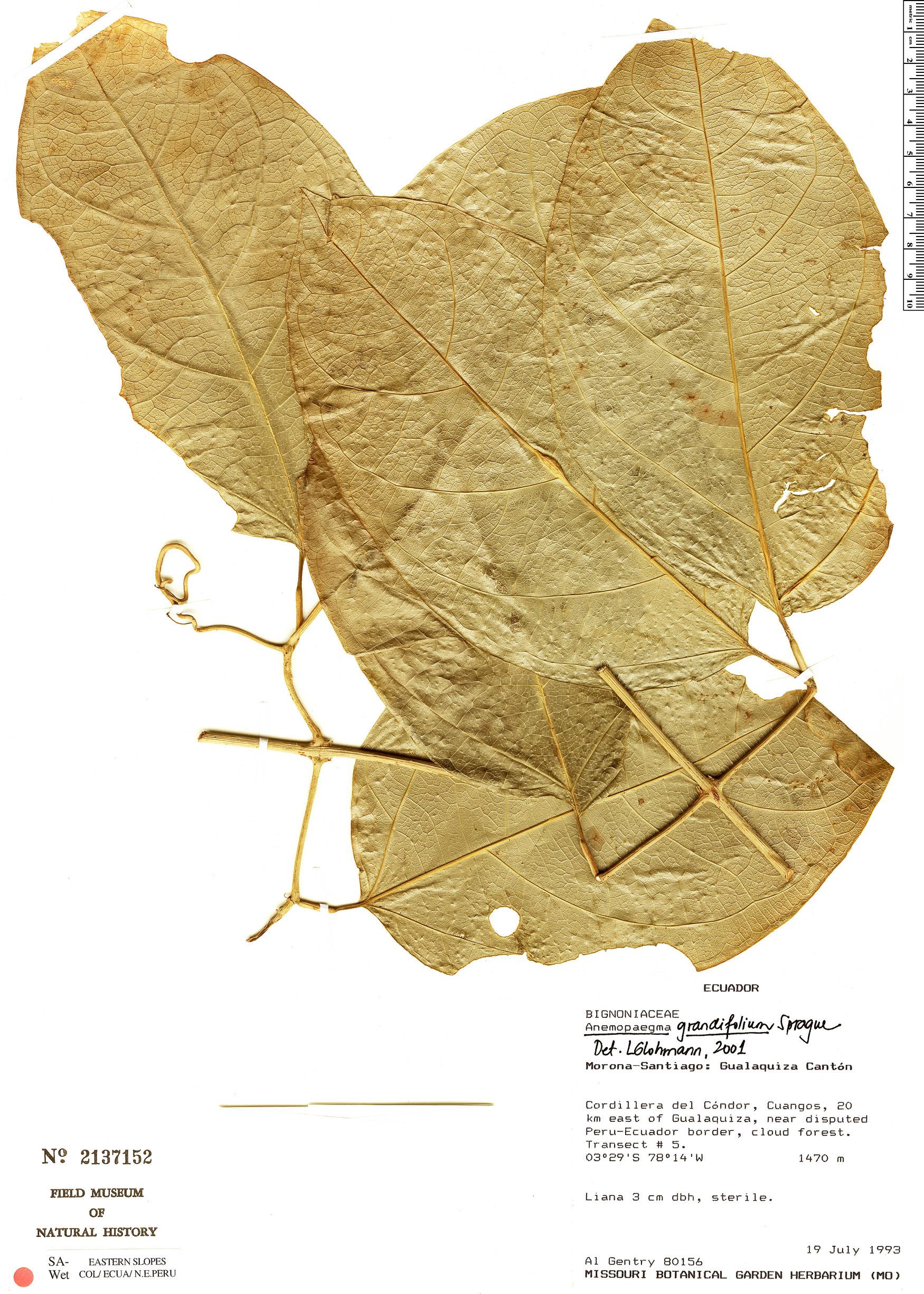 Specimen: Anemopaegma grandifolium