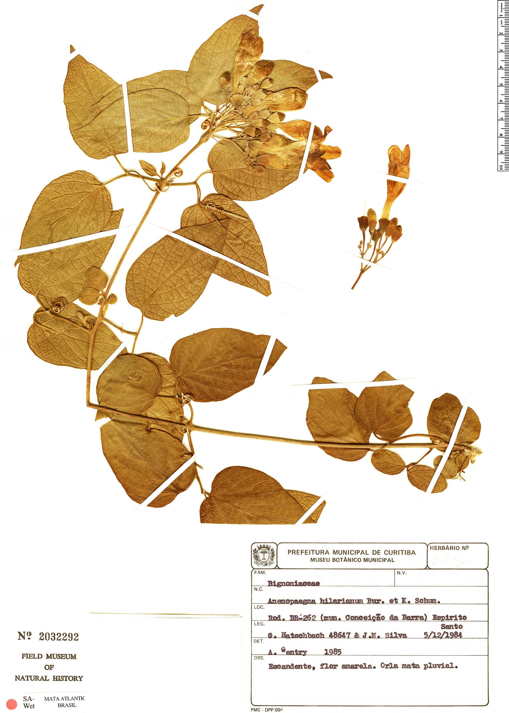 Specimen: Anemopaegma hilarianum