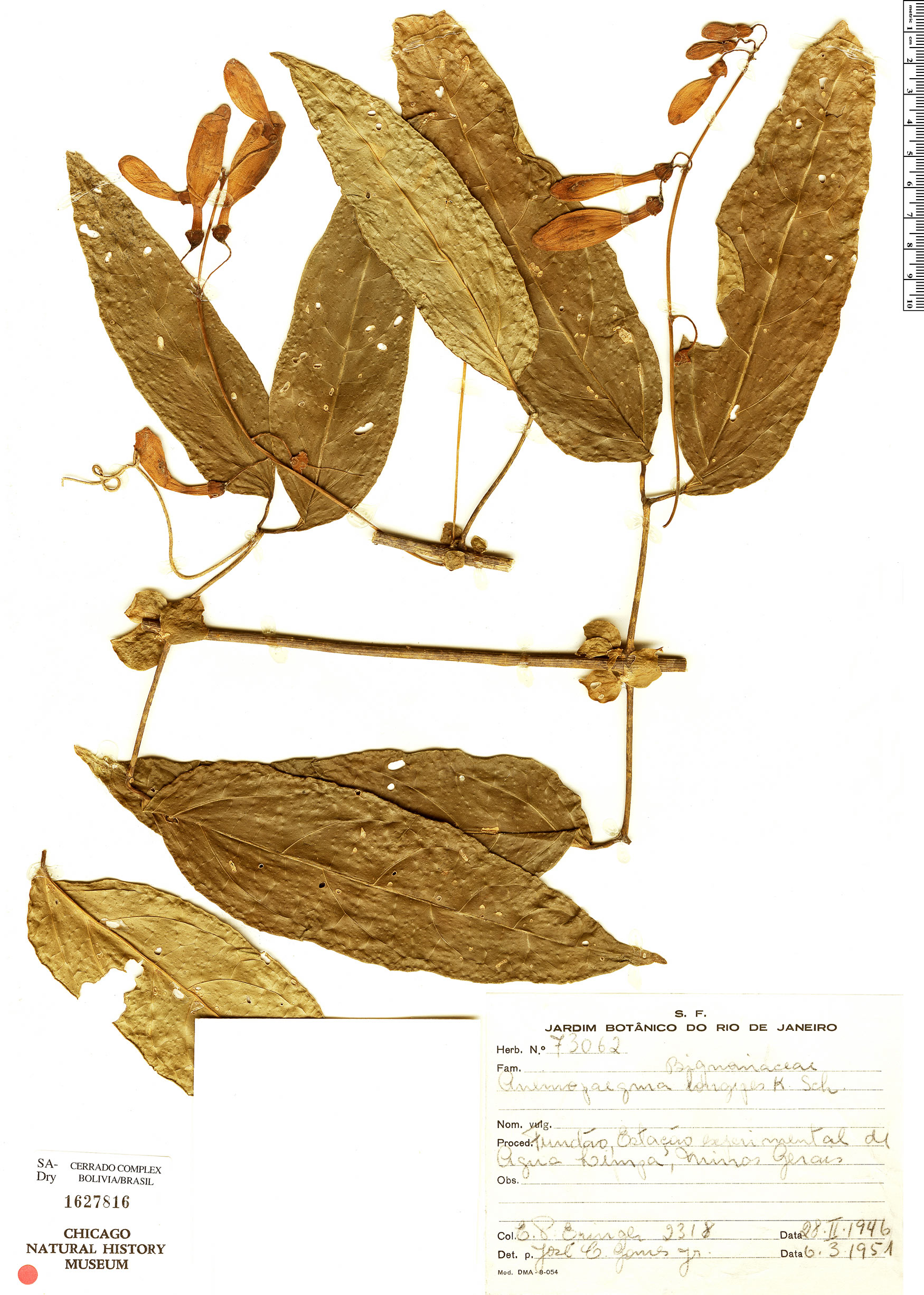 Specimen: Anemopaegma chamberlaynii