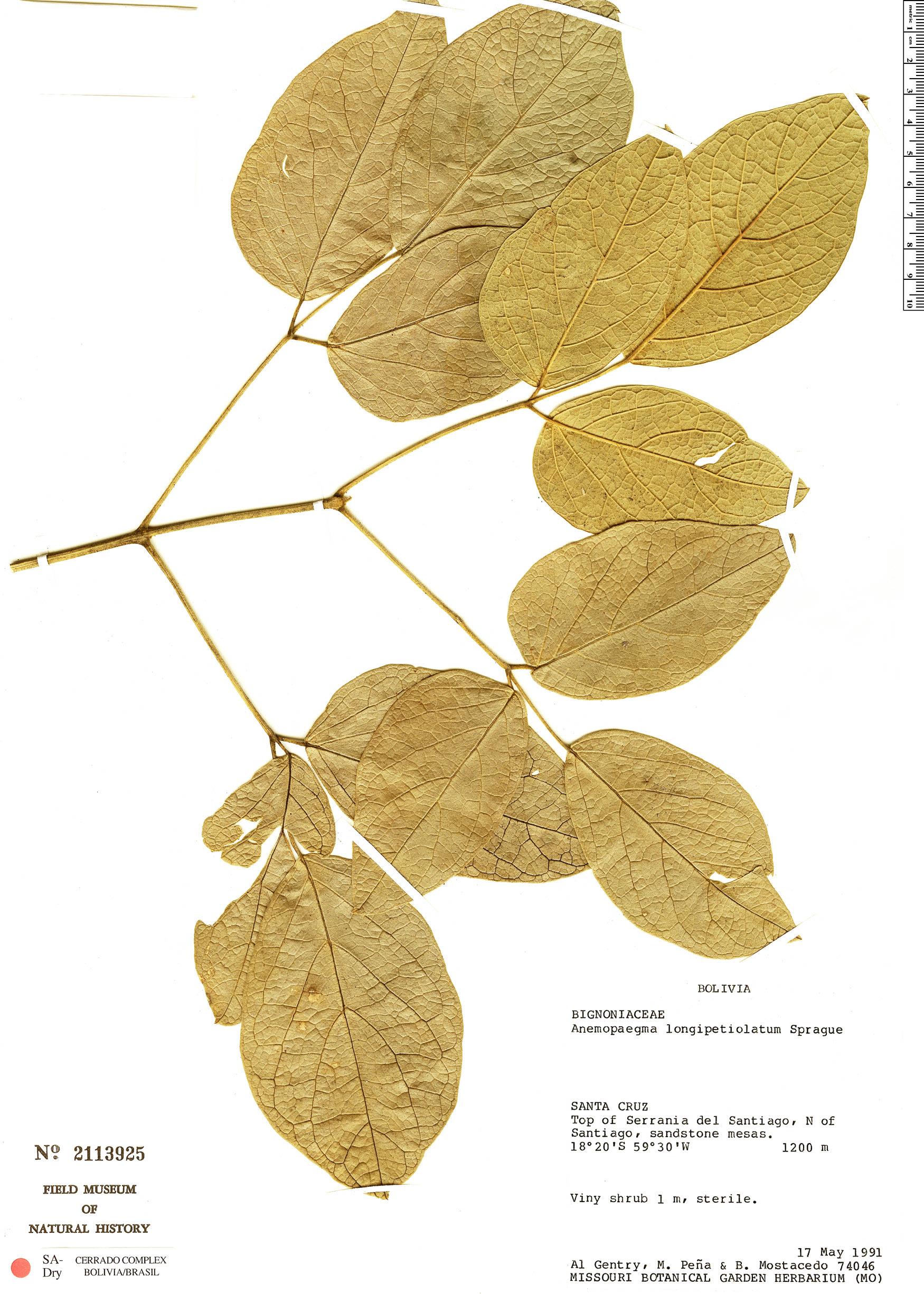 Specimen: Anemopaegma longipetiolatum