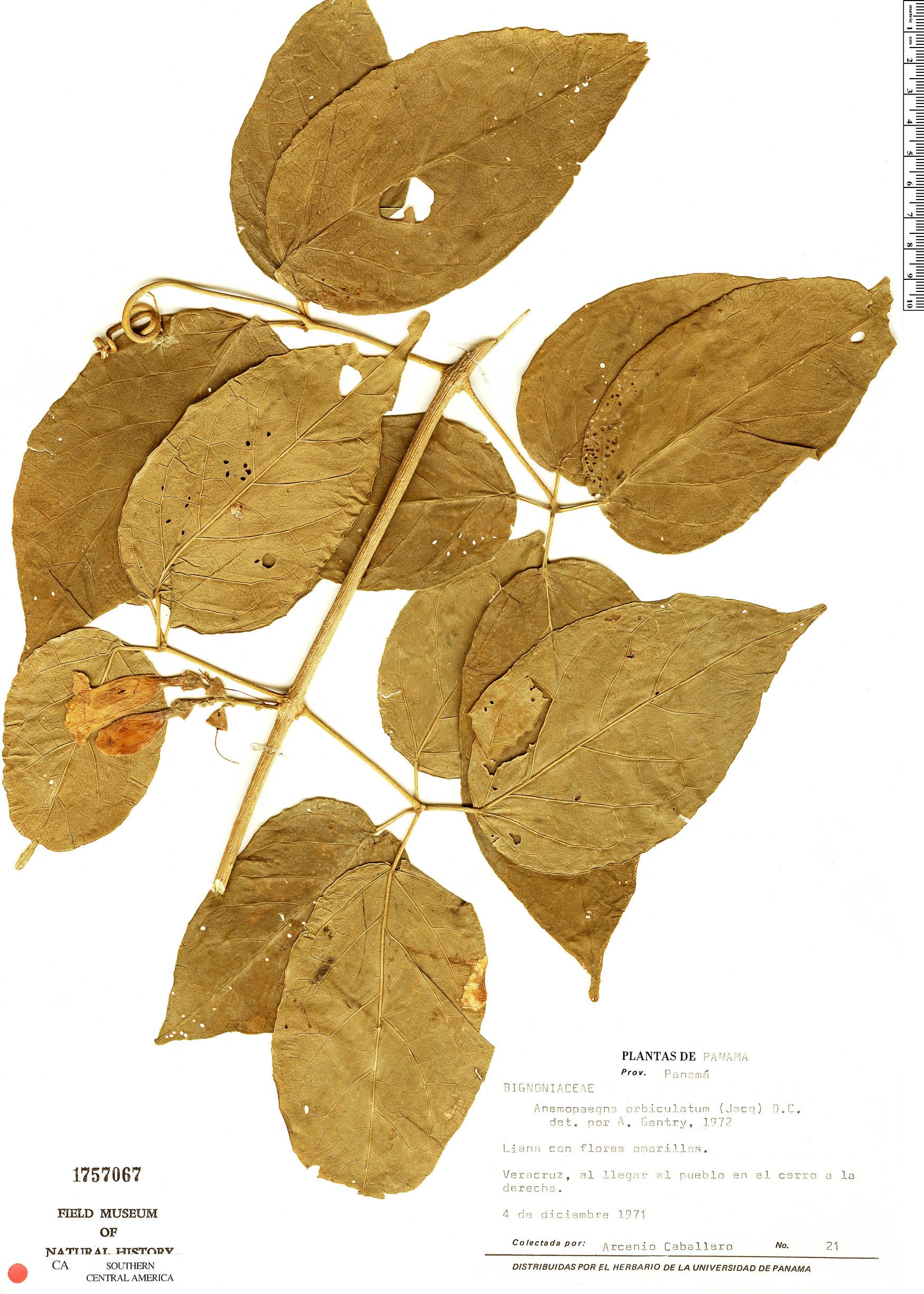 Anemopaegma orbiculatum image