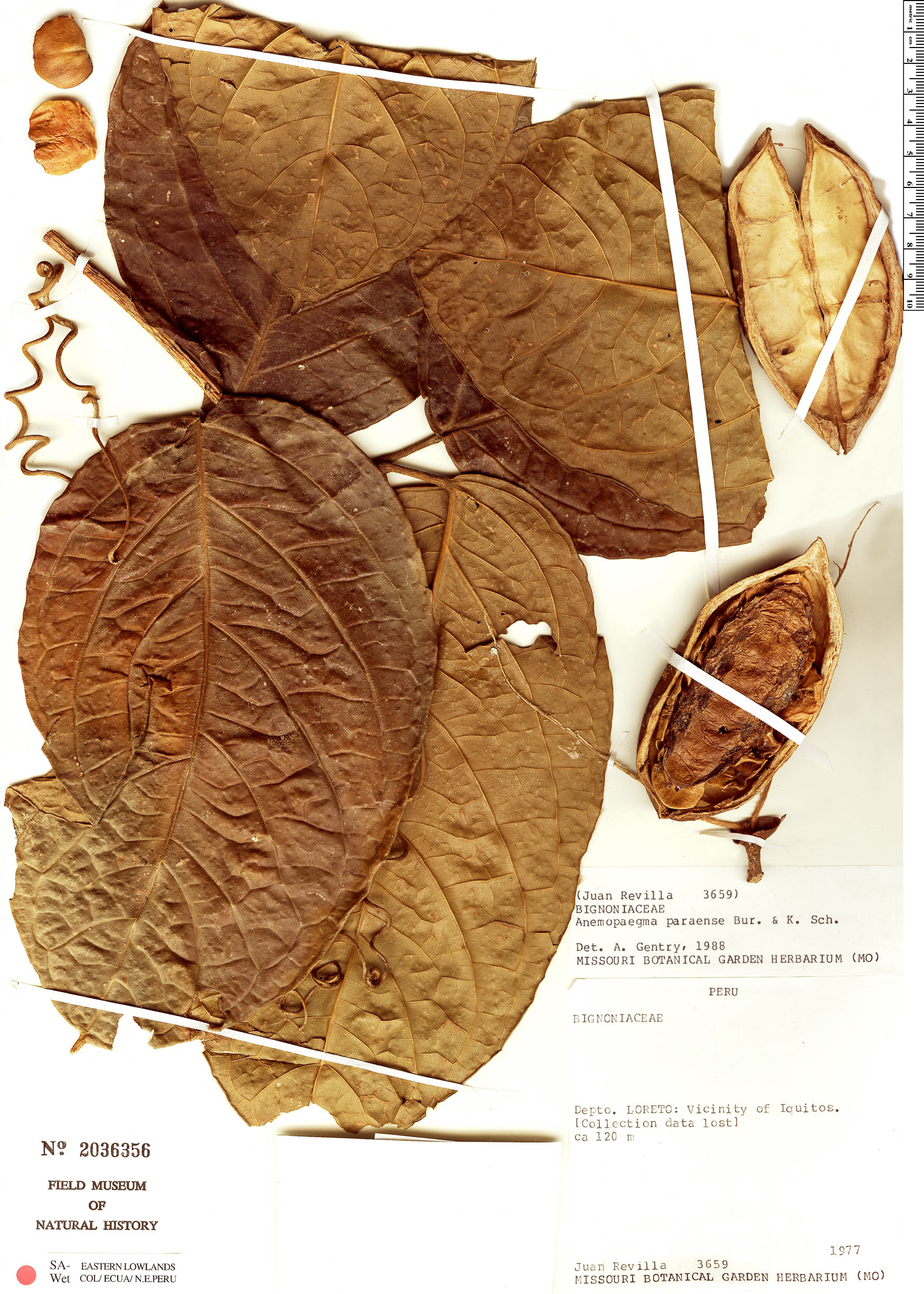 Specimen: Anemopaegma paraense