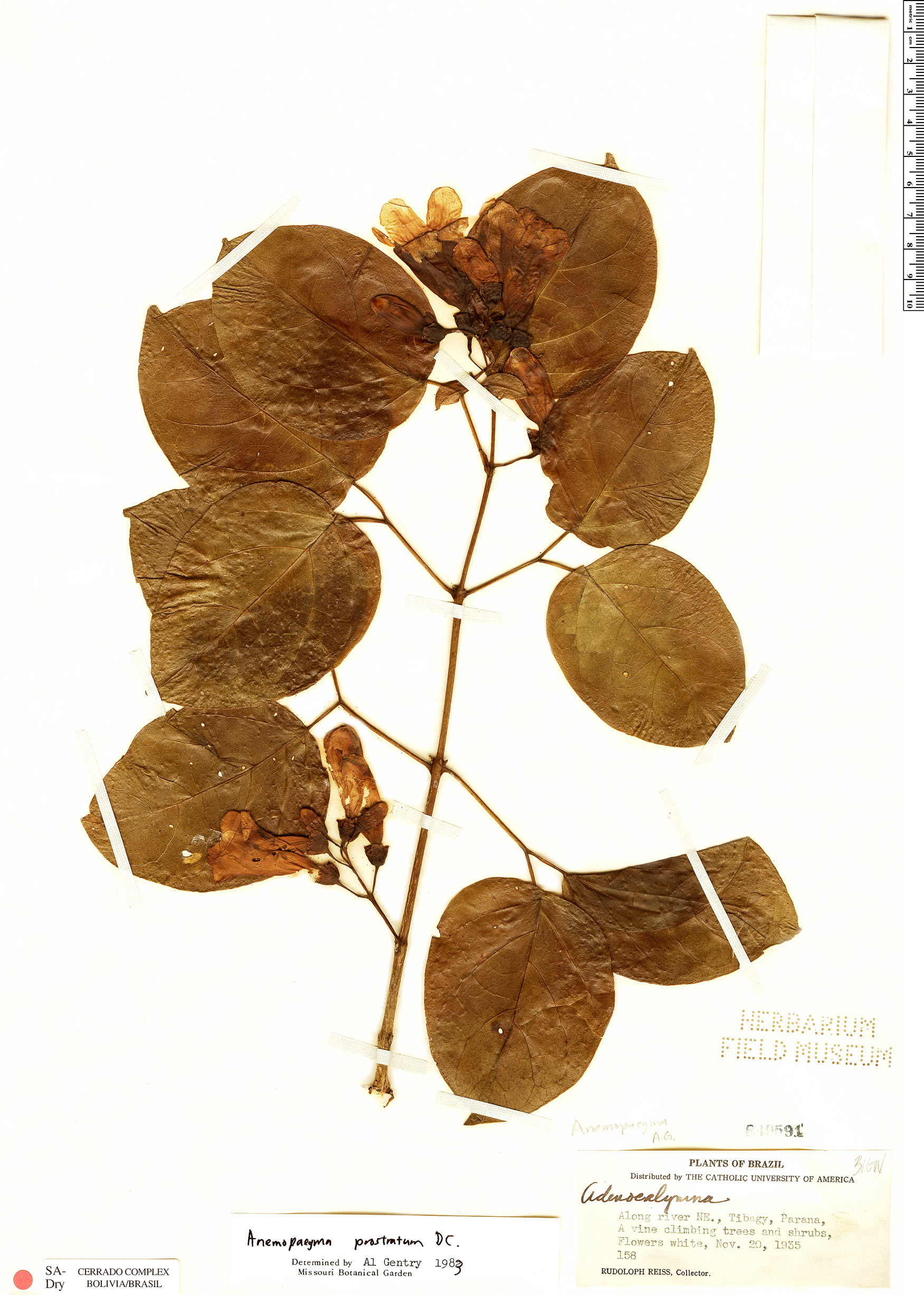 Espécimen: Anemopaegma prostratum