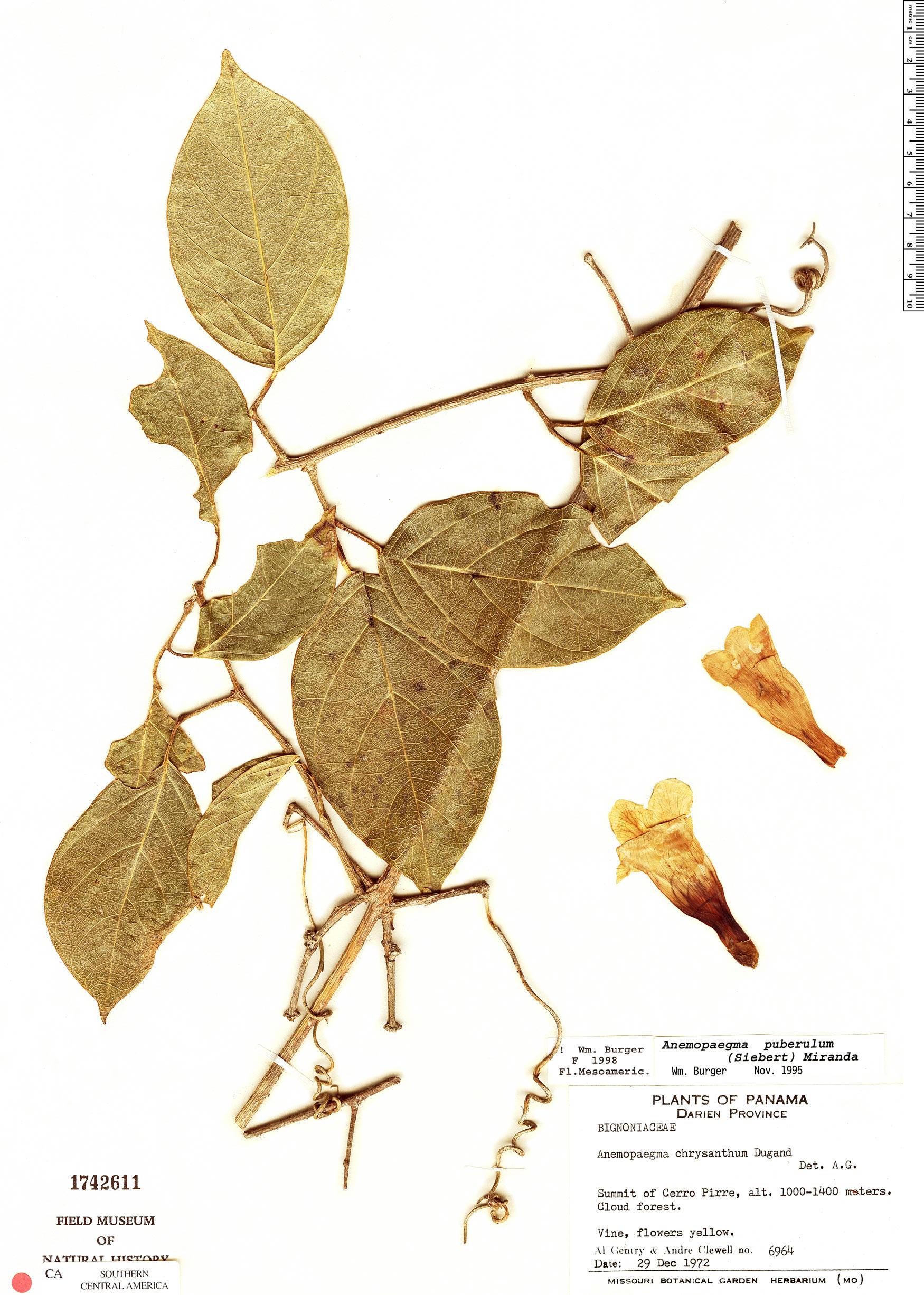 Anemopaegma puberulum image
