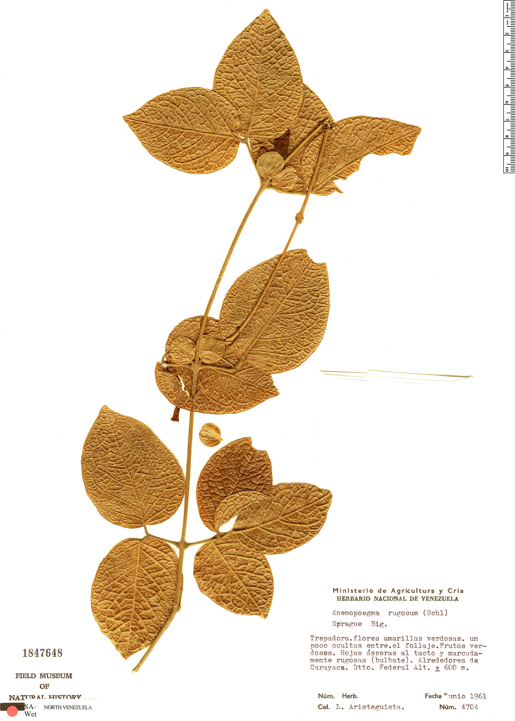 Espécimen: Anemopaegma rugosum