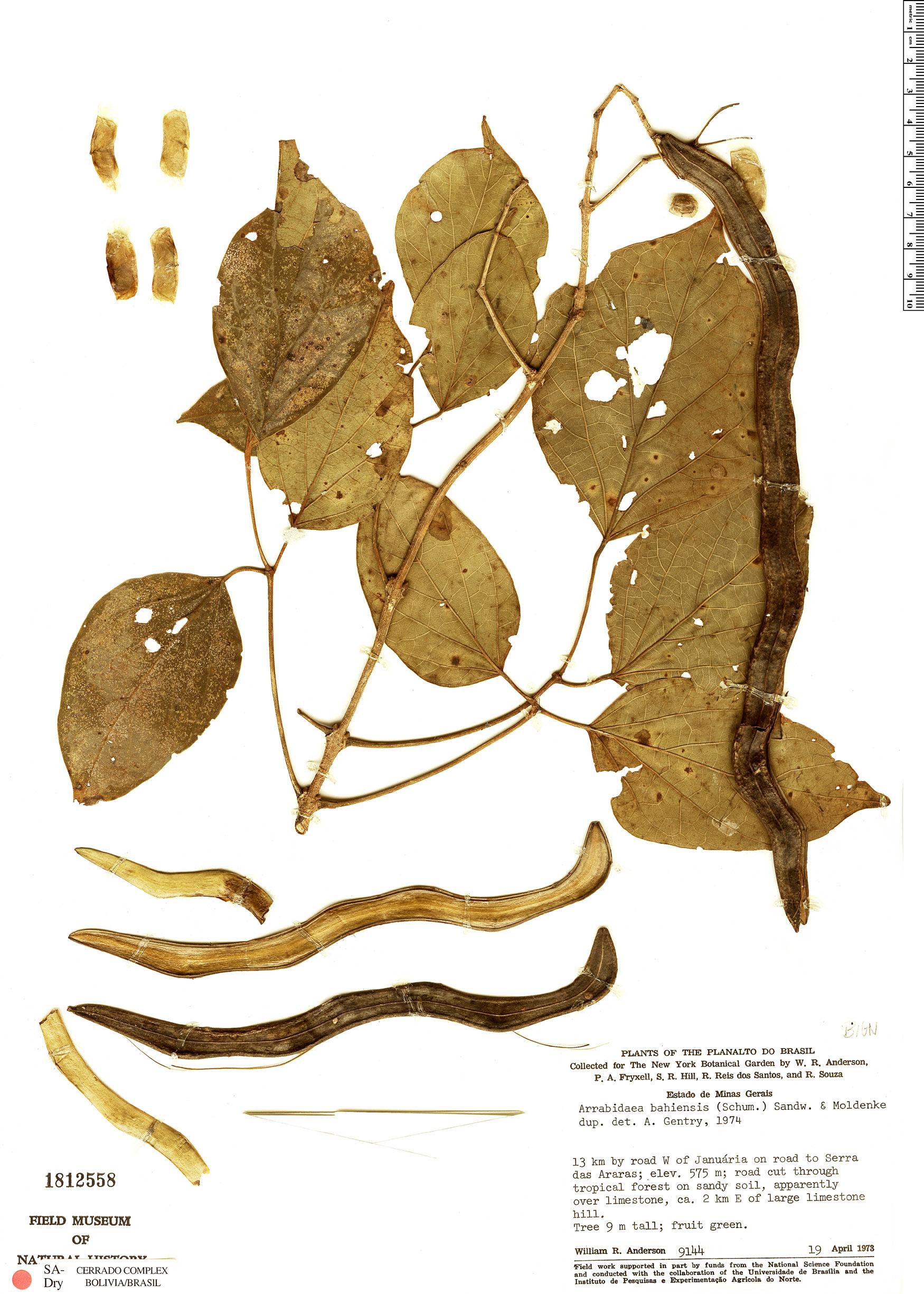 Specimen: Fridericia bahiensis