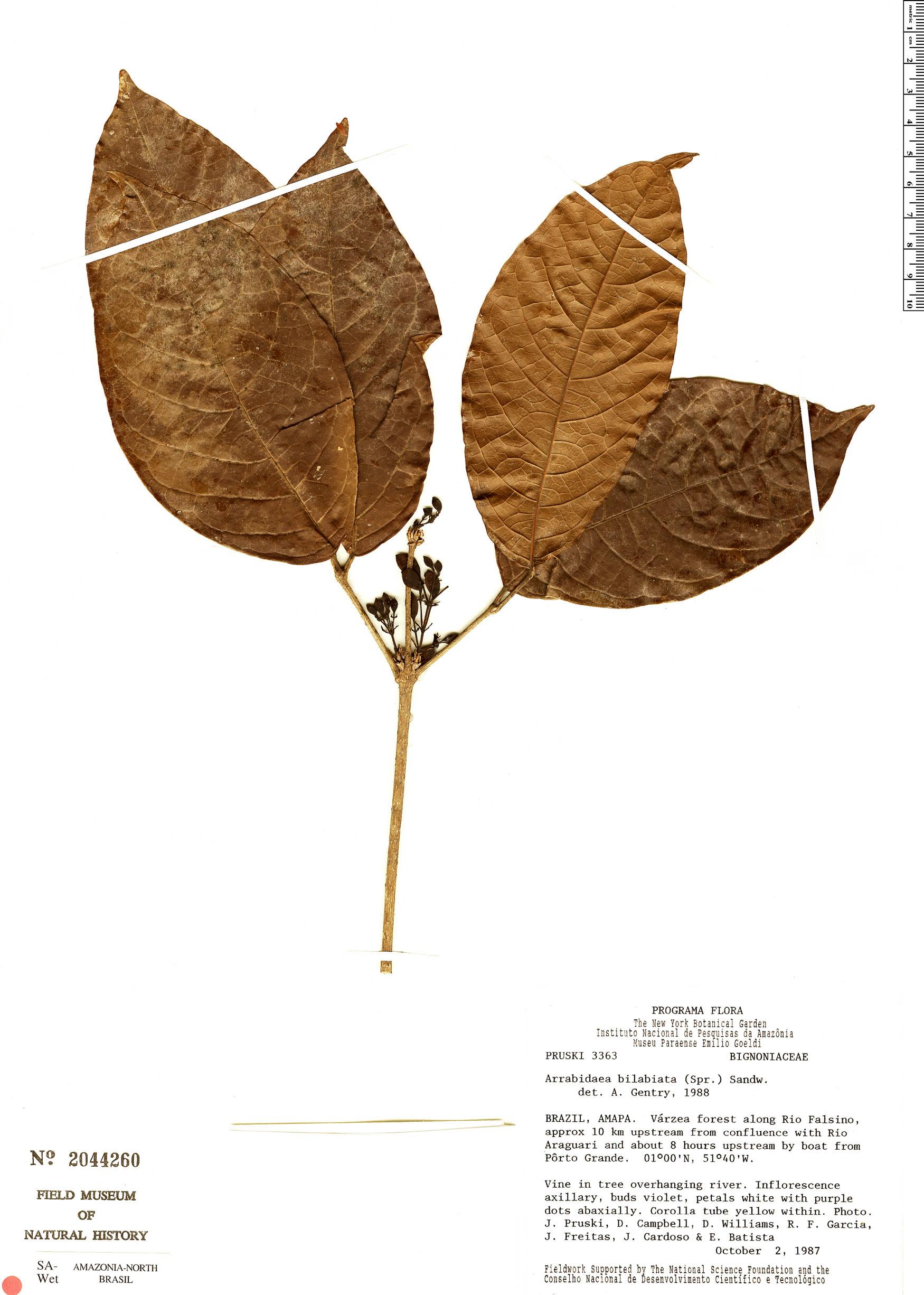 Specimen: Tanaecium bilabiatum