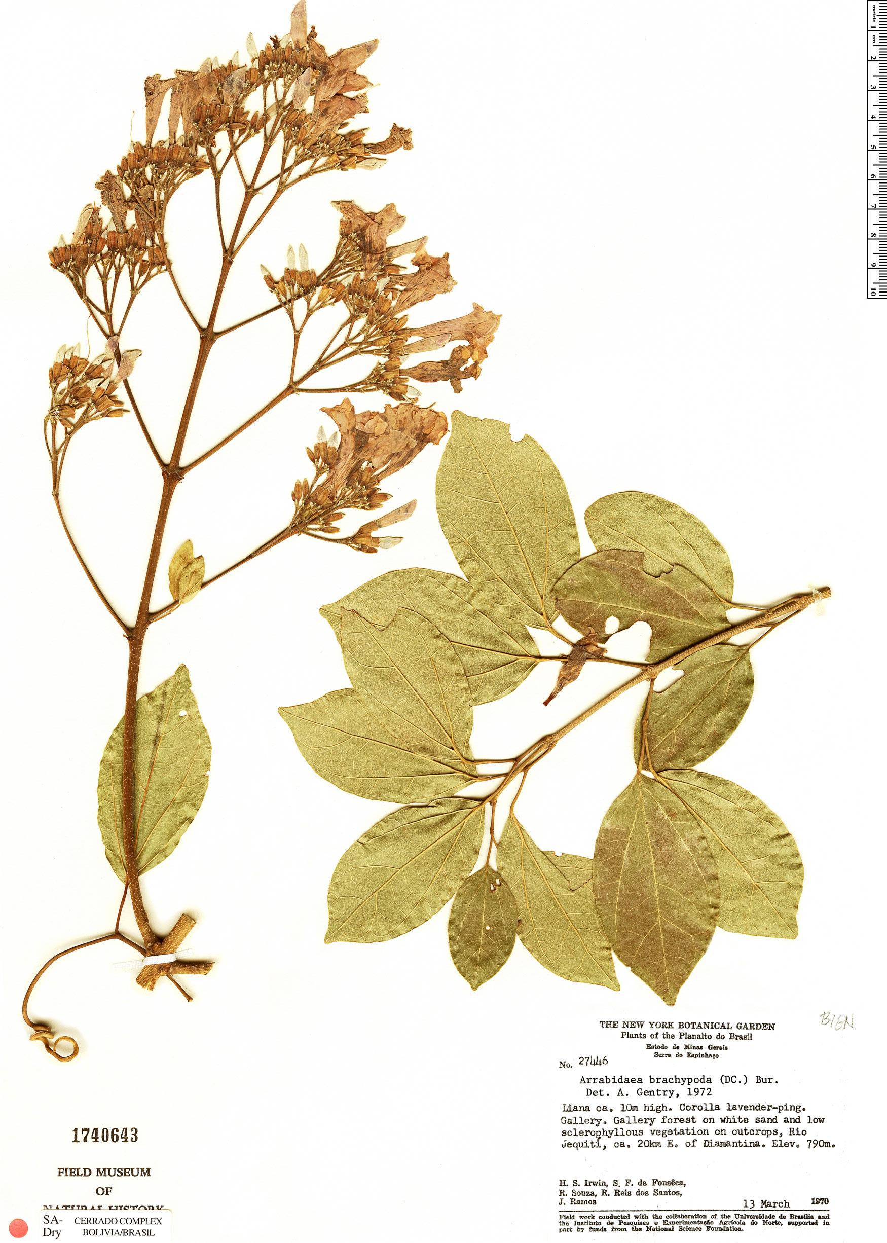 Specimen: Fridericia platyphylla