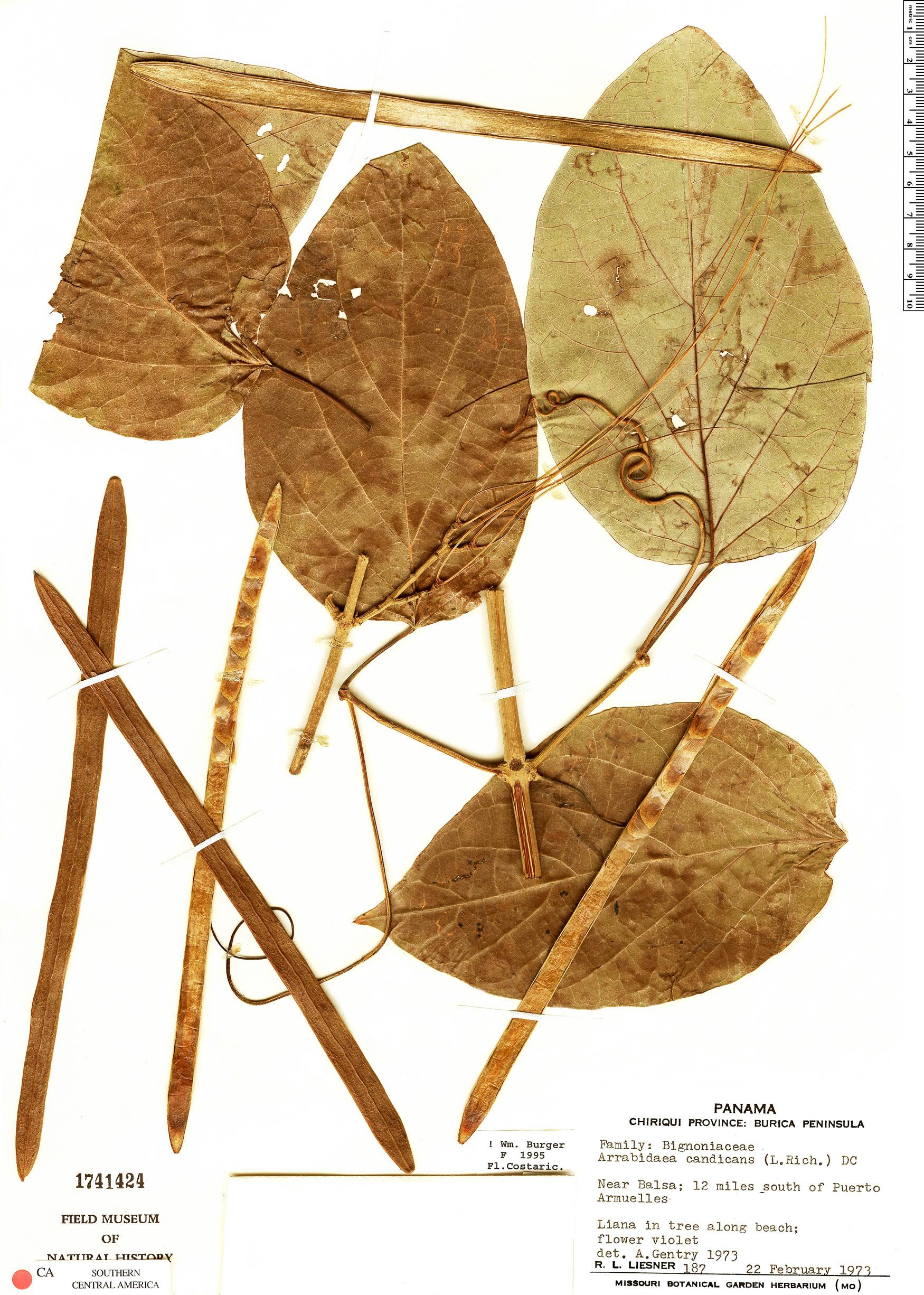 Specimen: Fridericia candicans