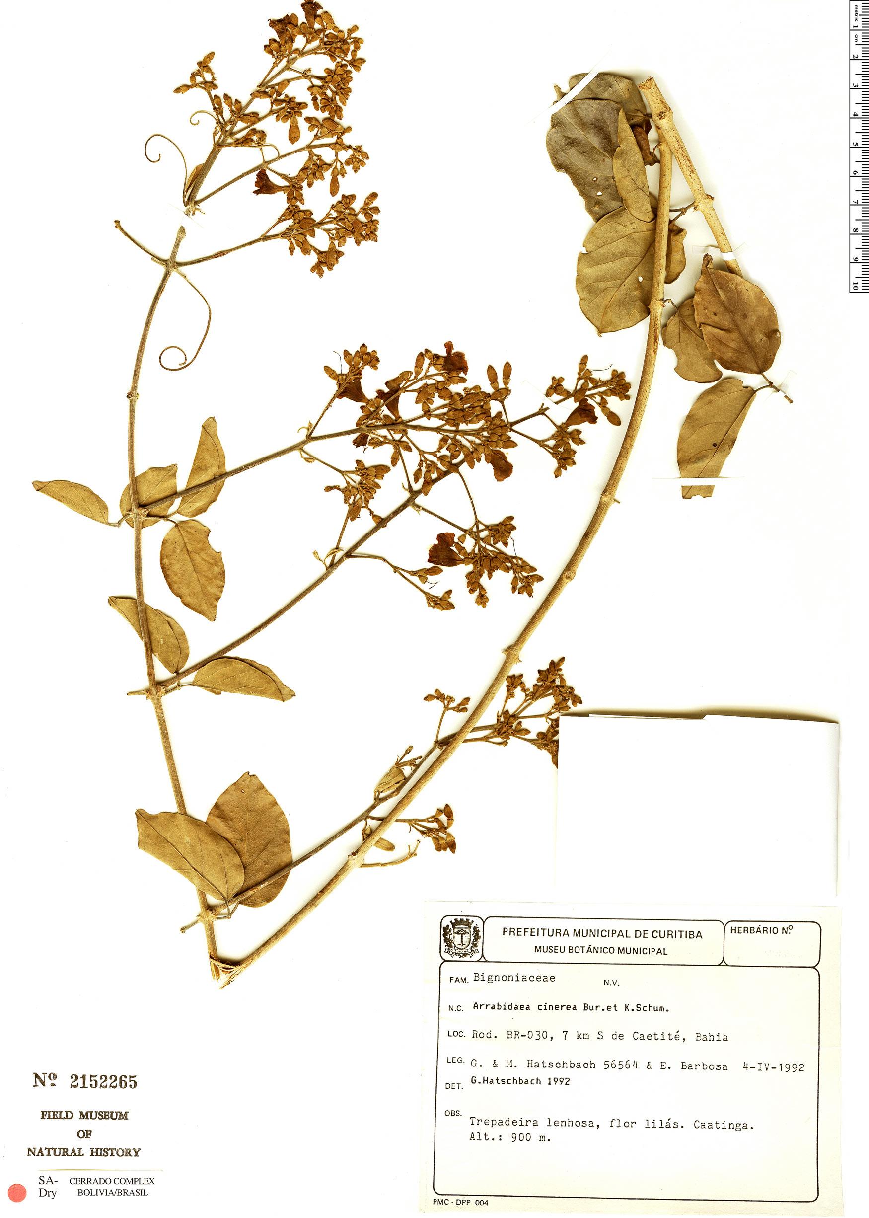 Specimen: Fridericia cinerea