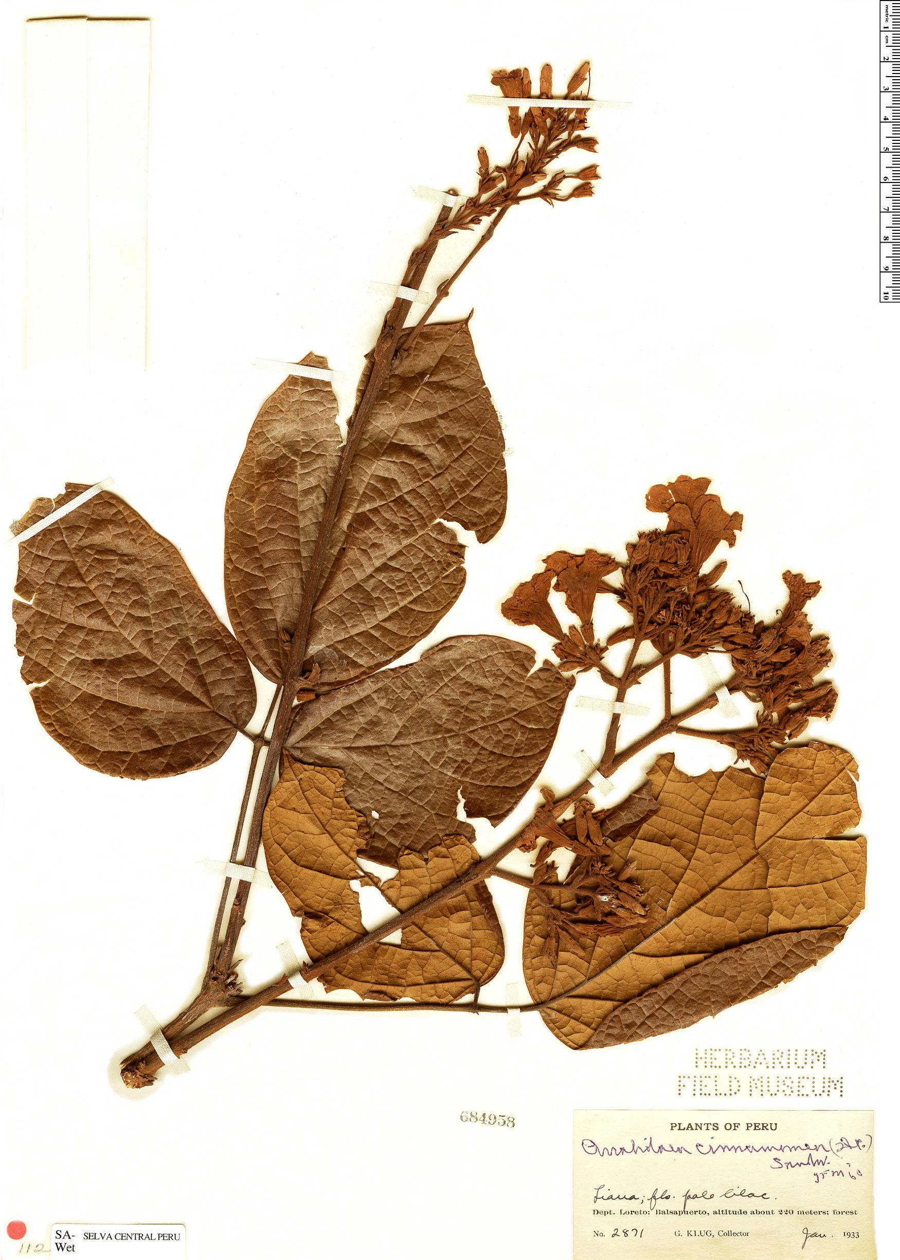 Specimen: Fridericia cinnamomea