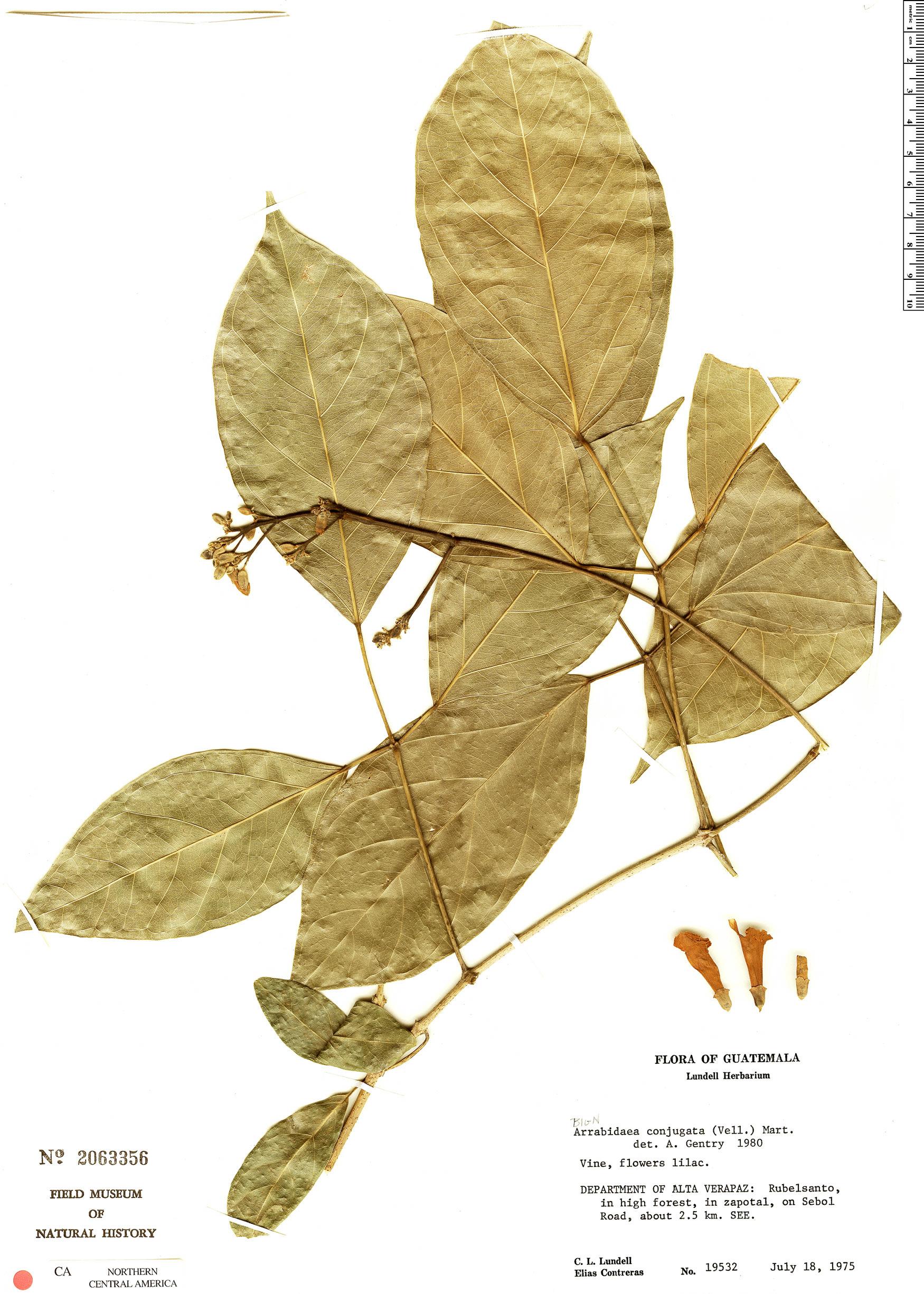 Specimen: Fridericia conjugata