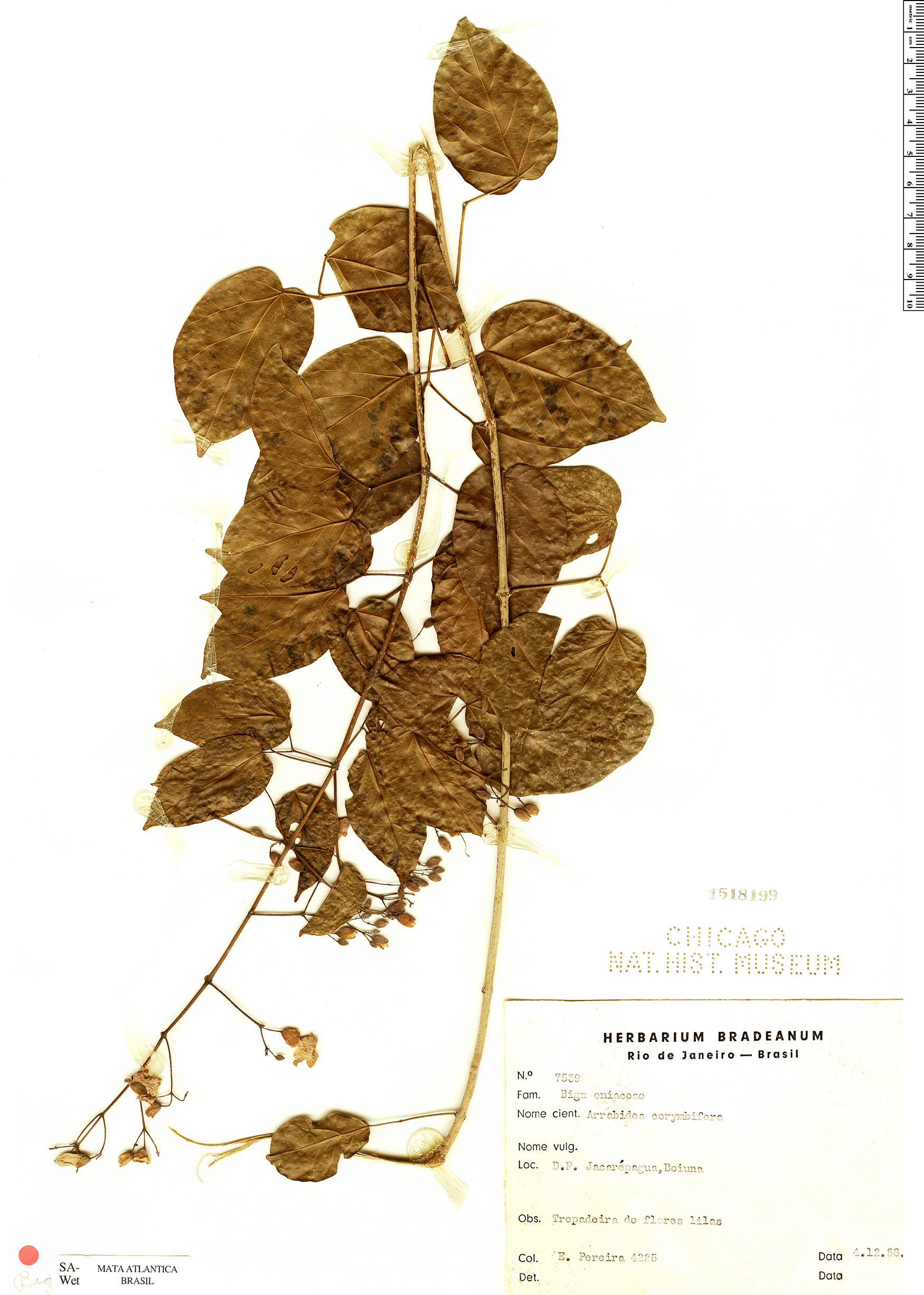 Espécime: Lundia corymbifera