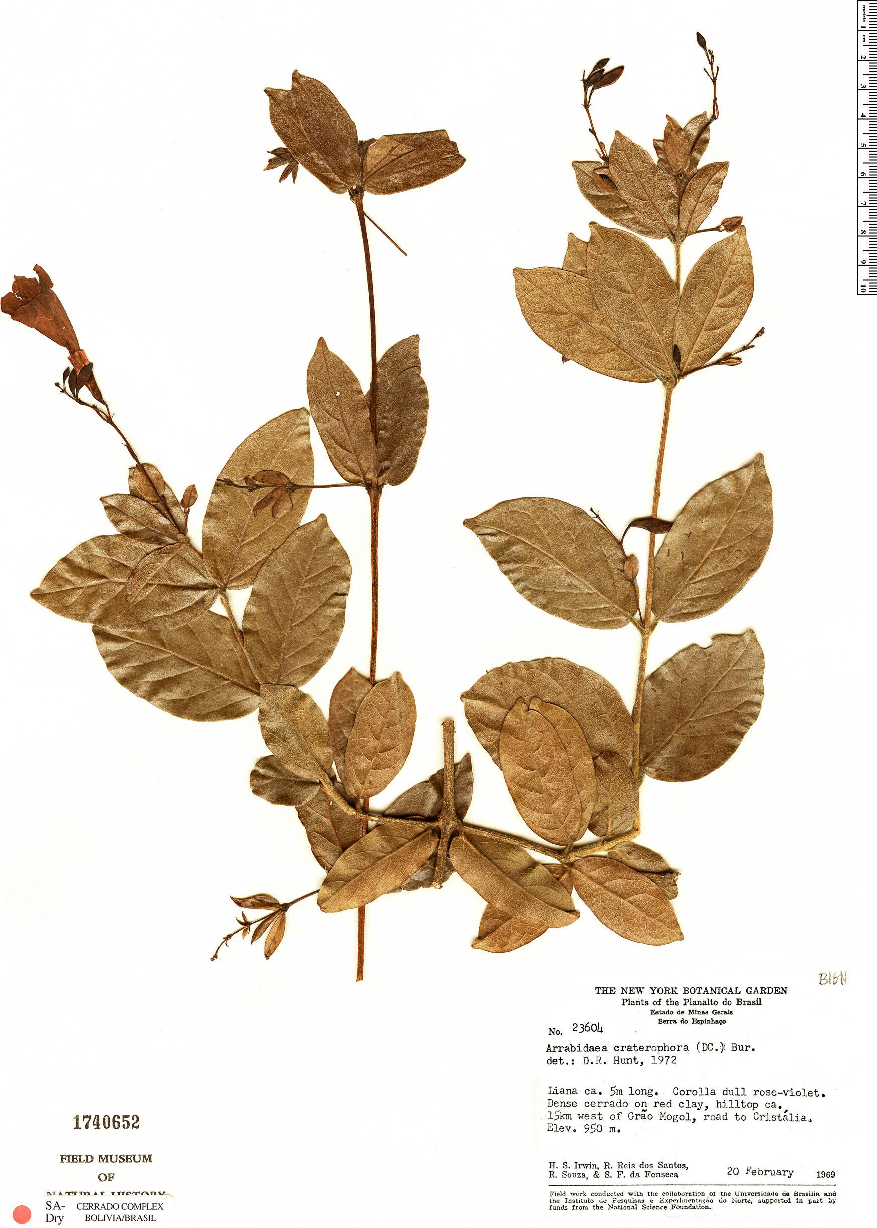 Specimen: Fridericia craterophora