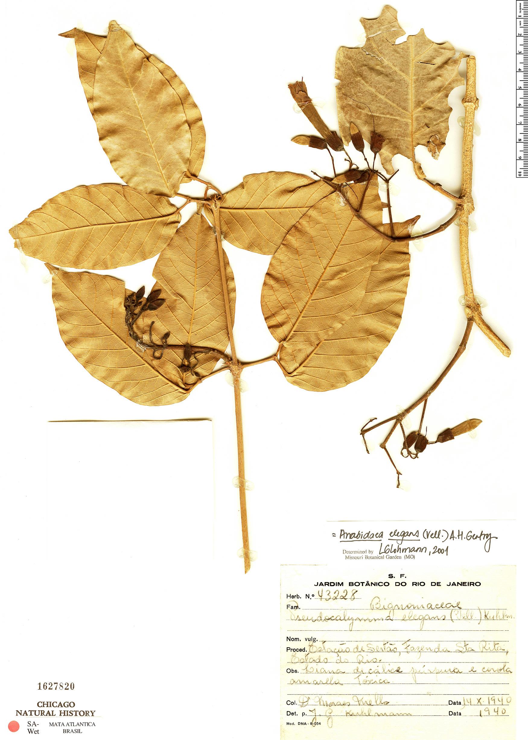 Specimen: Fridericia elegans